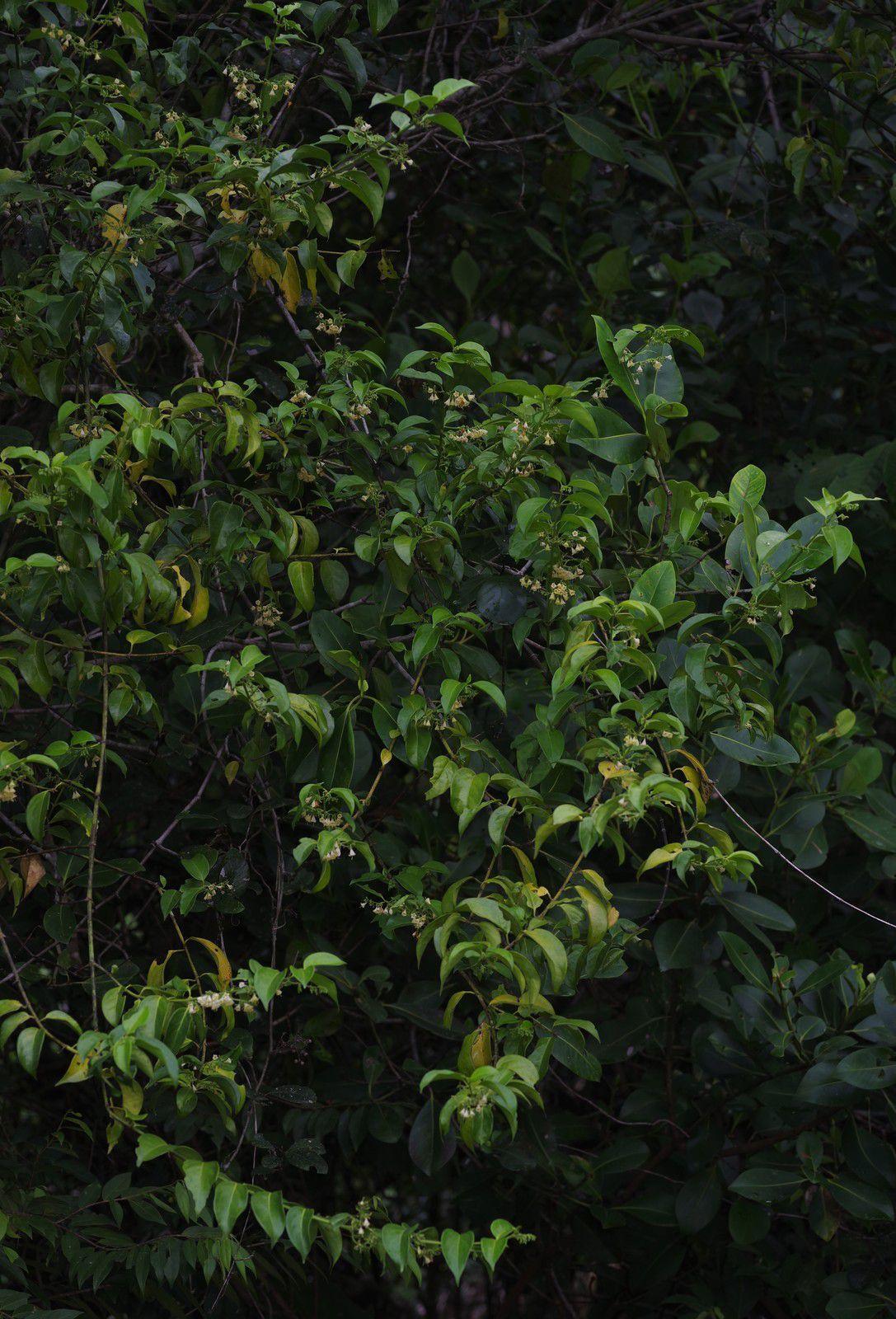 Chiococca alba