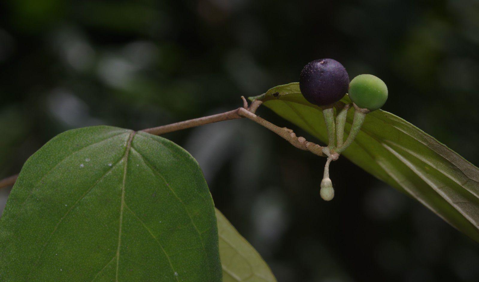 Solanum schlechtendalianum