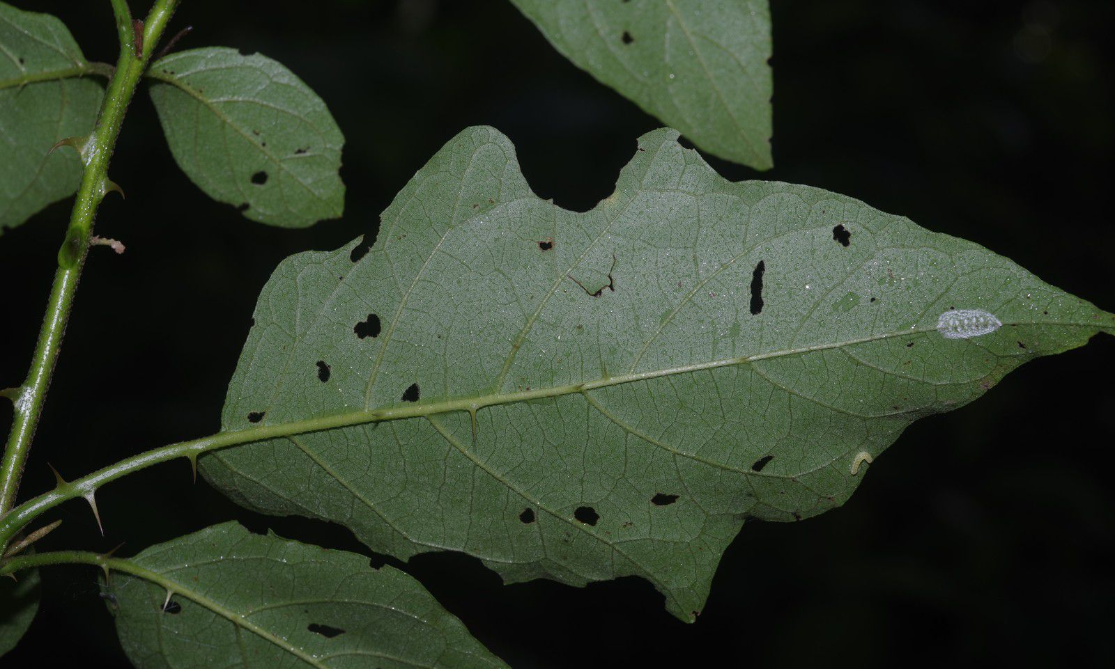 Solanum subinerme