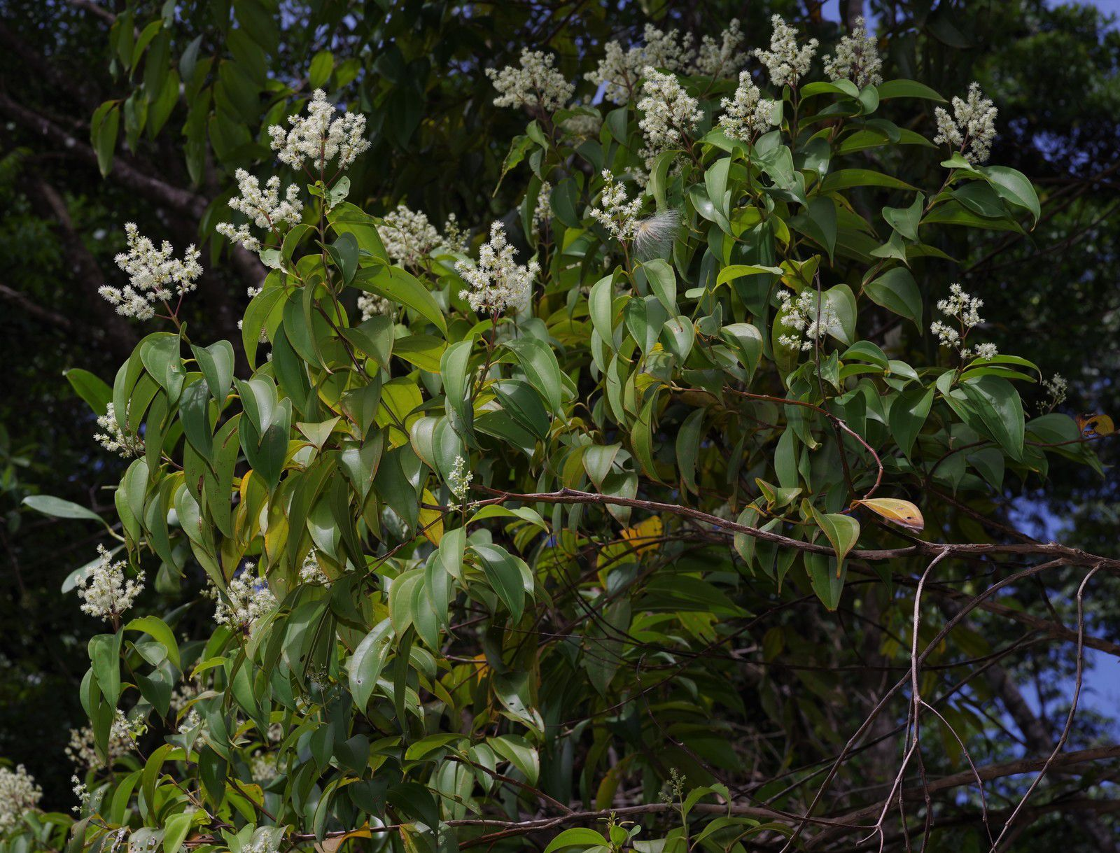 Miconia minutiflora (à confirmer)