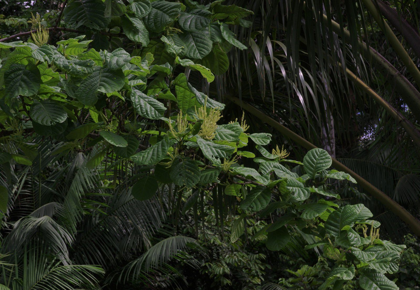 Coccoloba latifolia