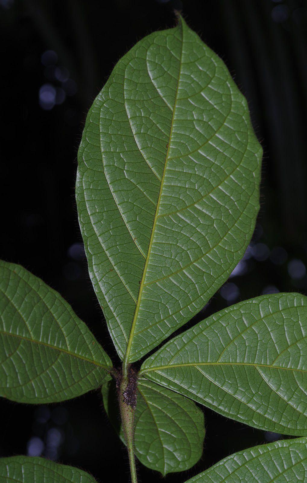 Cordia nodosa (lamoussé fourmi, bois fourmi)