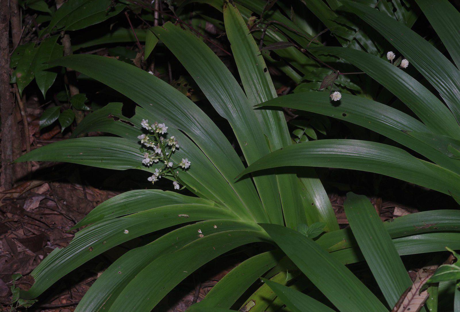 Xiphidium coeruleum (muguet pays)