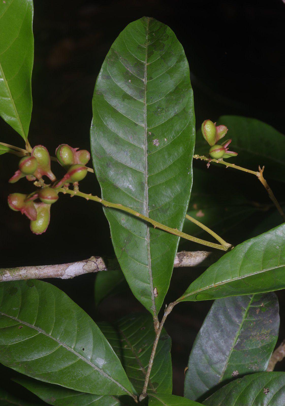 Matayba arborescens