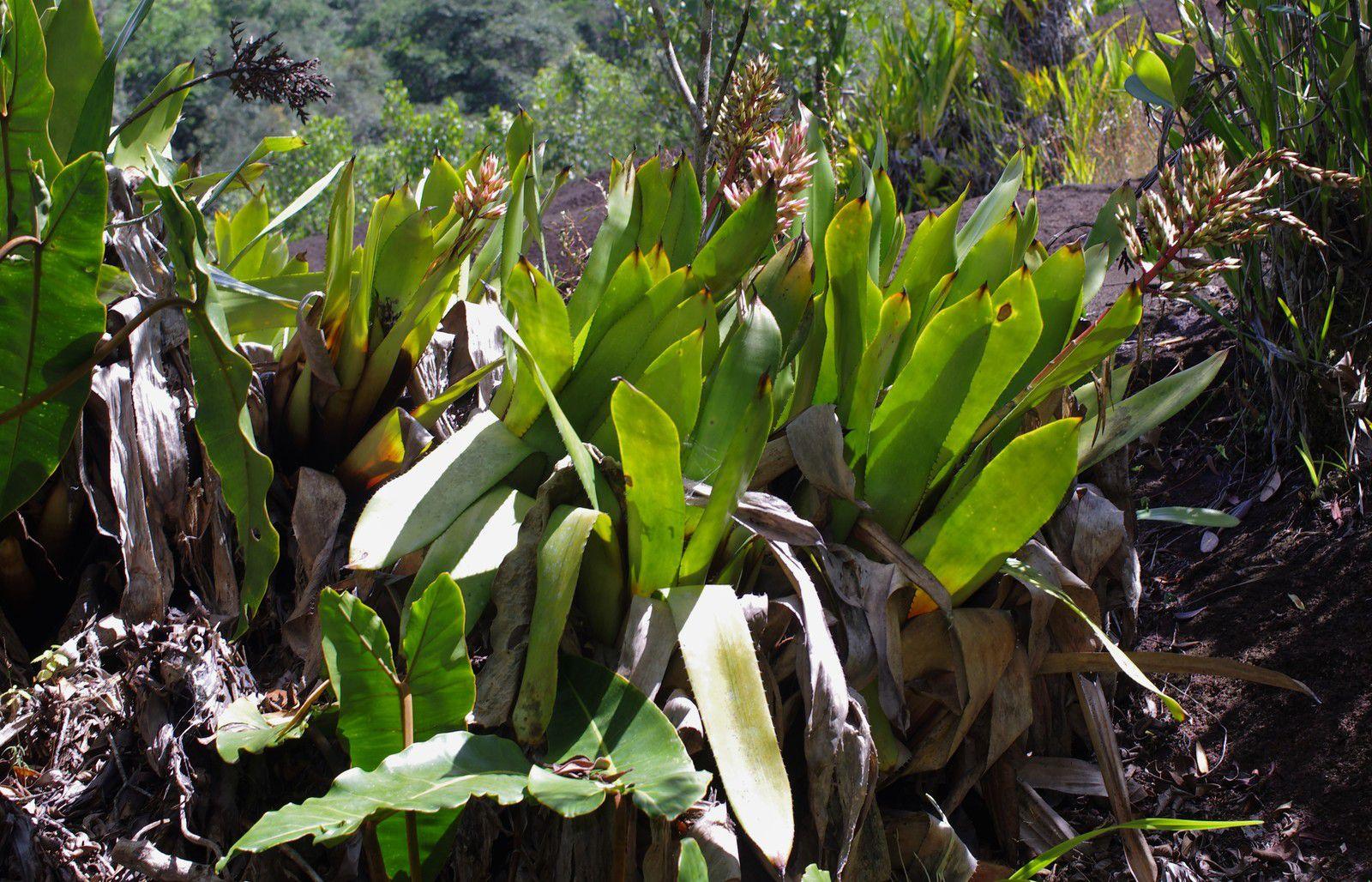 Aechmea polyantha