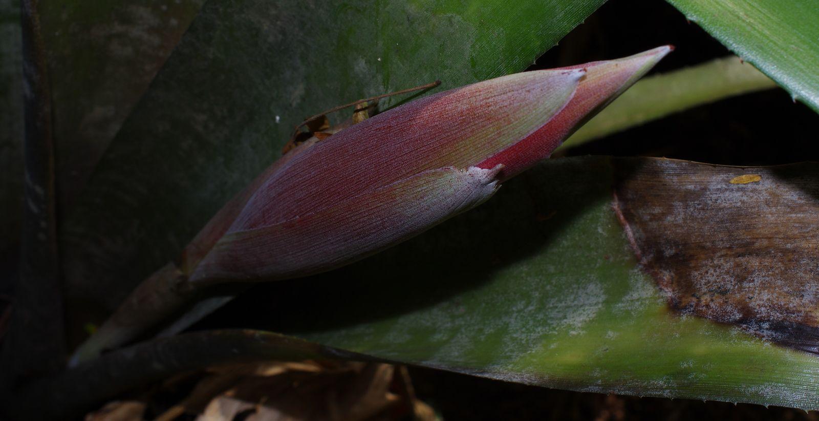 Billbergia violacea