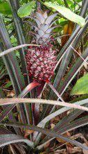 Ananas comosus var. microstachys