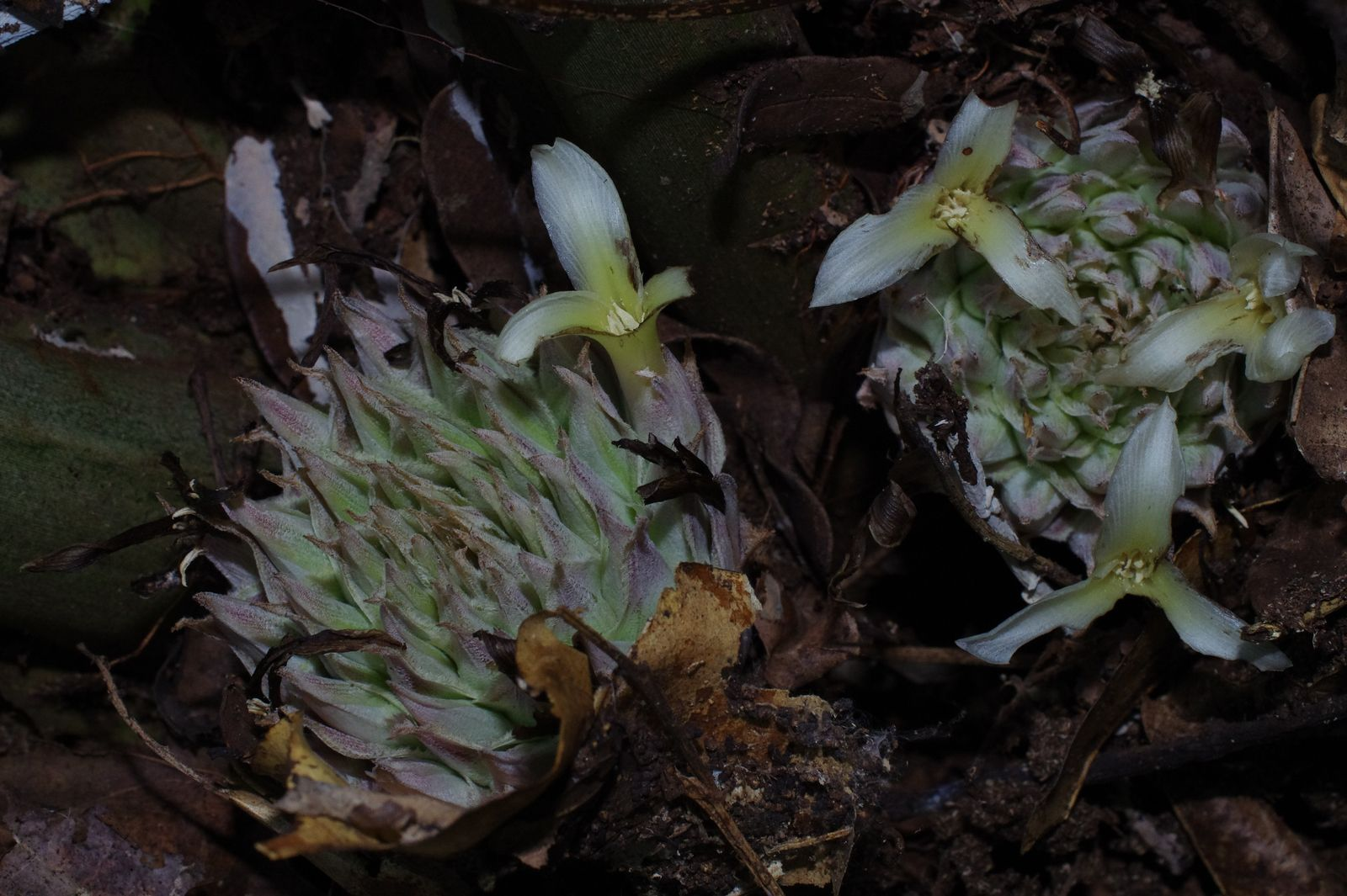 Disteganthus lateralis