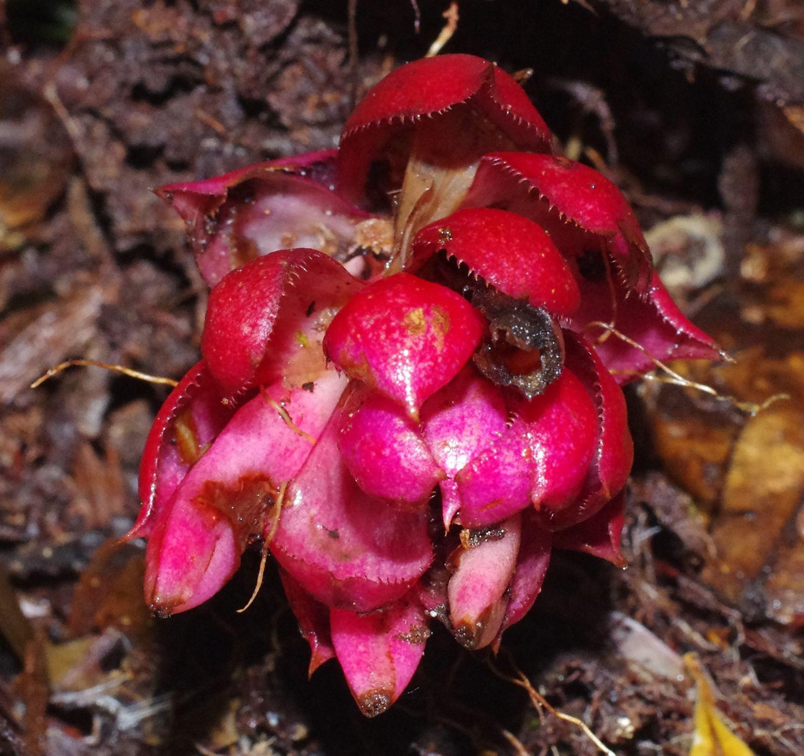 Disteganthus basilateralis