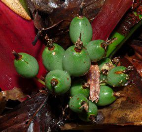 Bromelia agavifolia