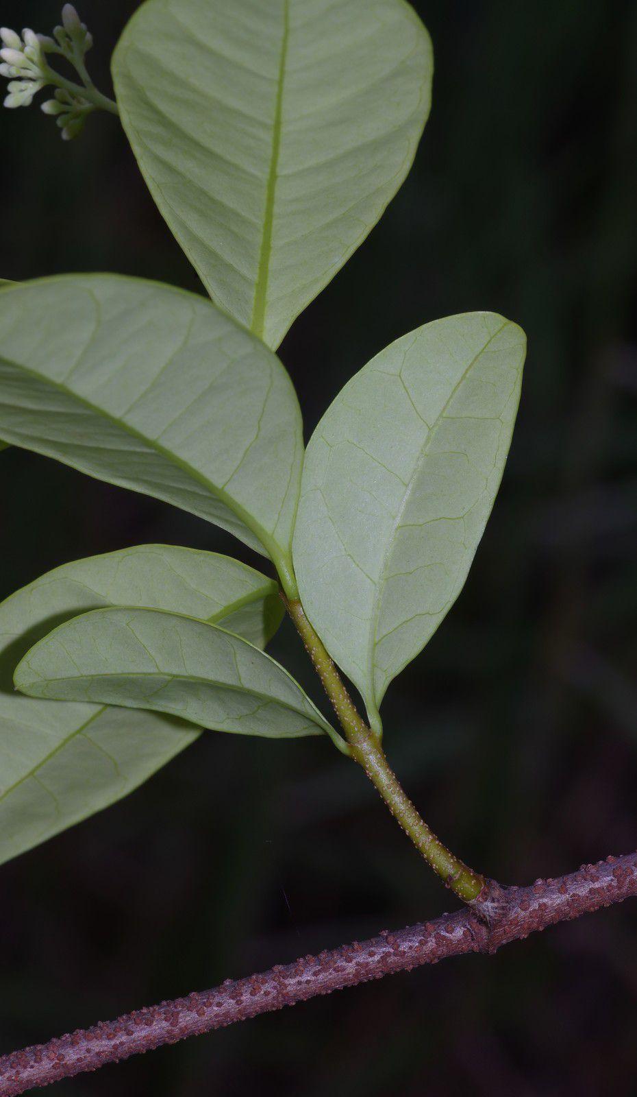 Forsteronia guyanensis