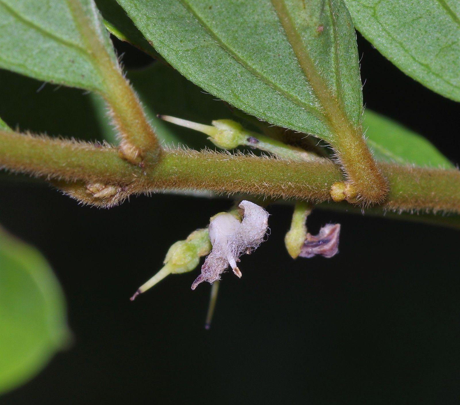 Strychnos panurensis