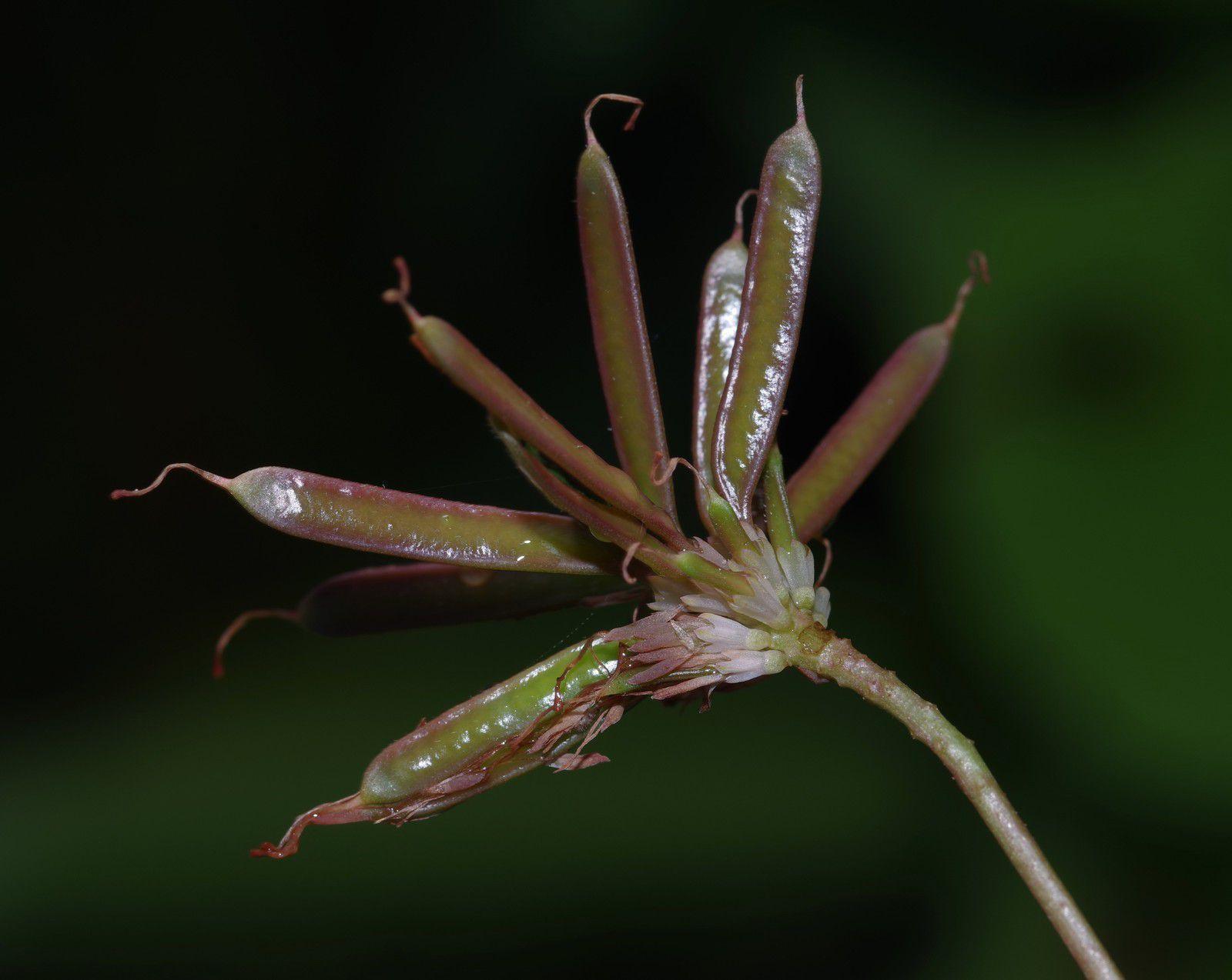Neptunia plena