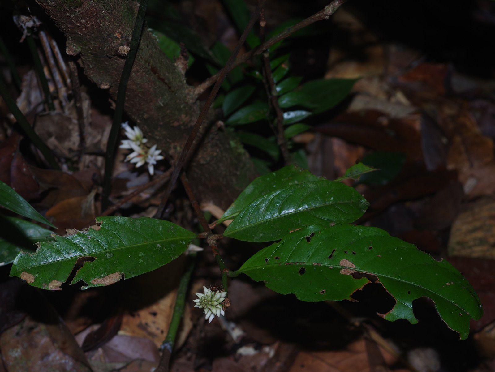 Paypayrola confertiflora