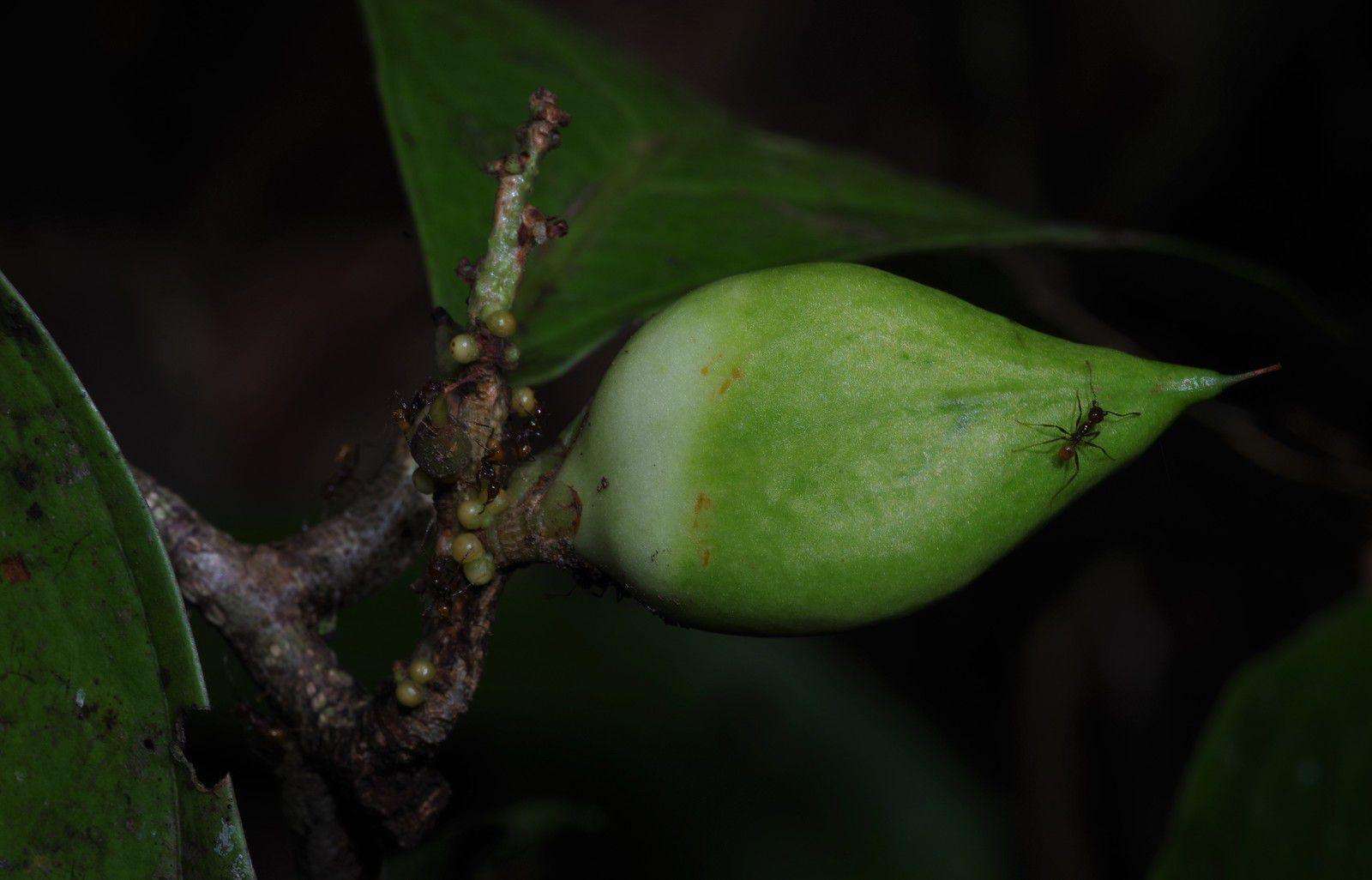 Paypayrola guianensis