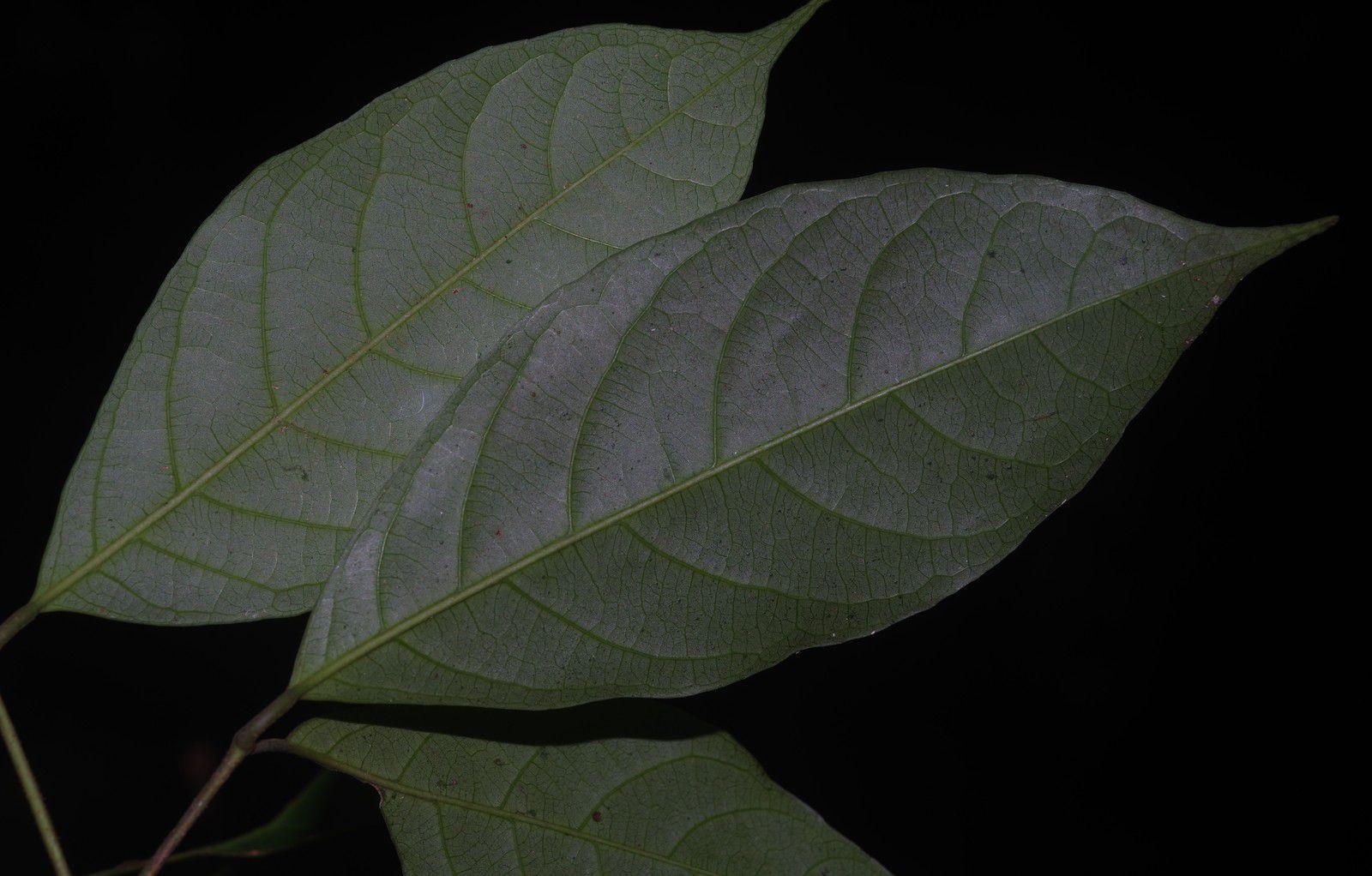 Rinorea amapensis (à confirmer)
