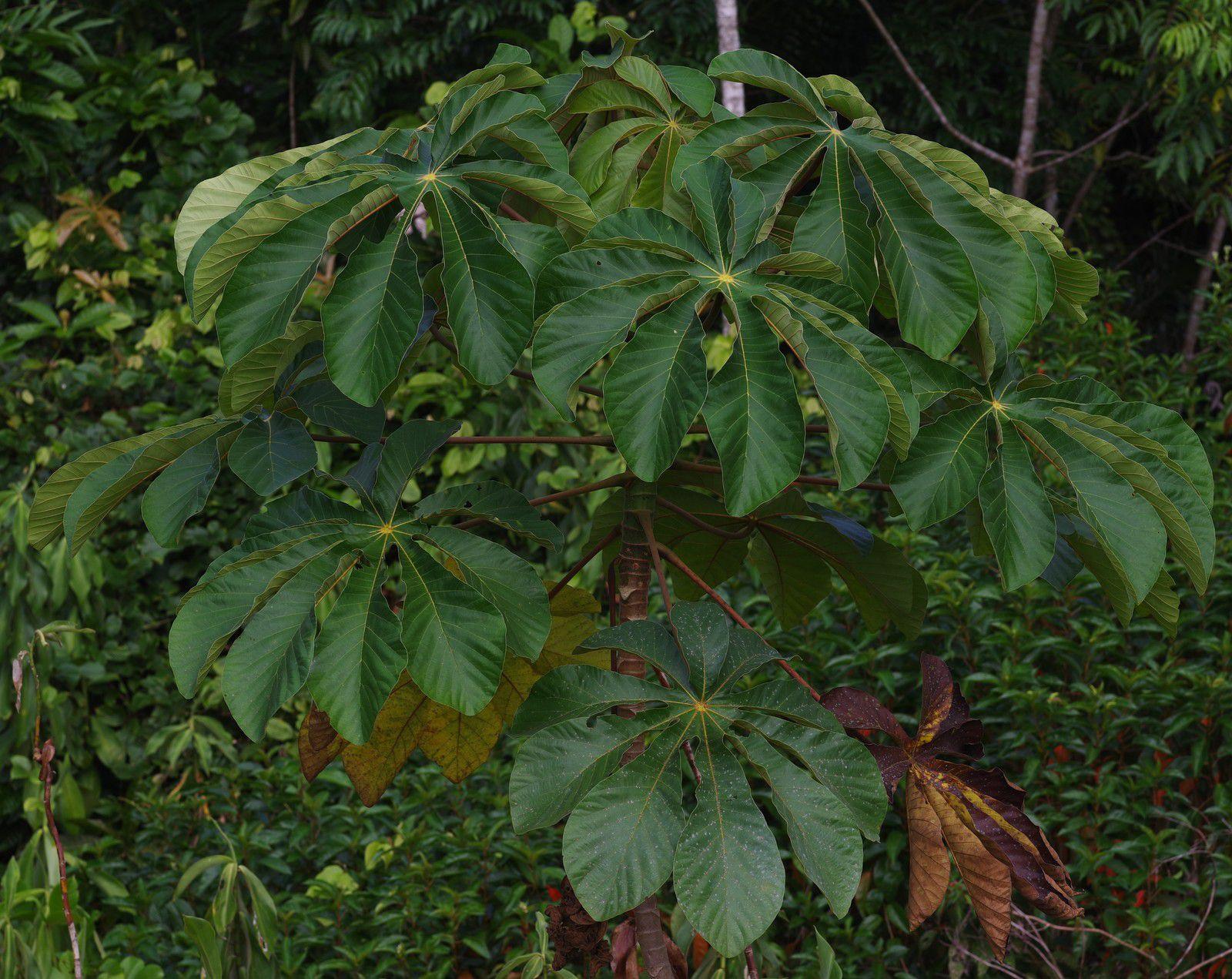 Cecropia palmata (bois-canon)