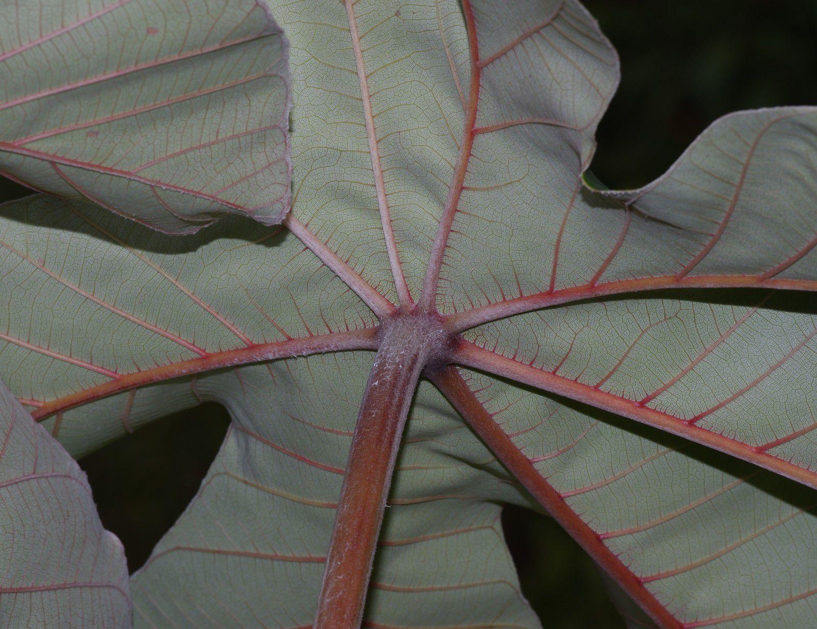 Cecropia obtusa (bois-canon)