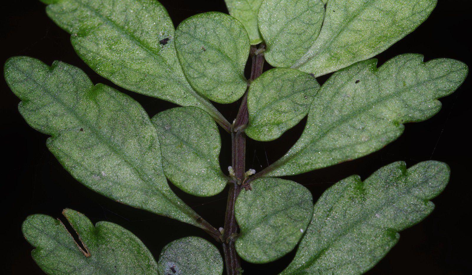 Pilea imparifolia