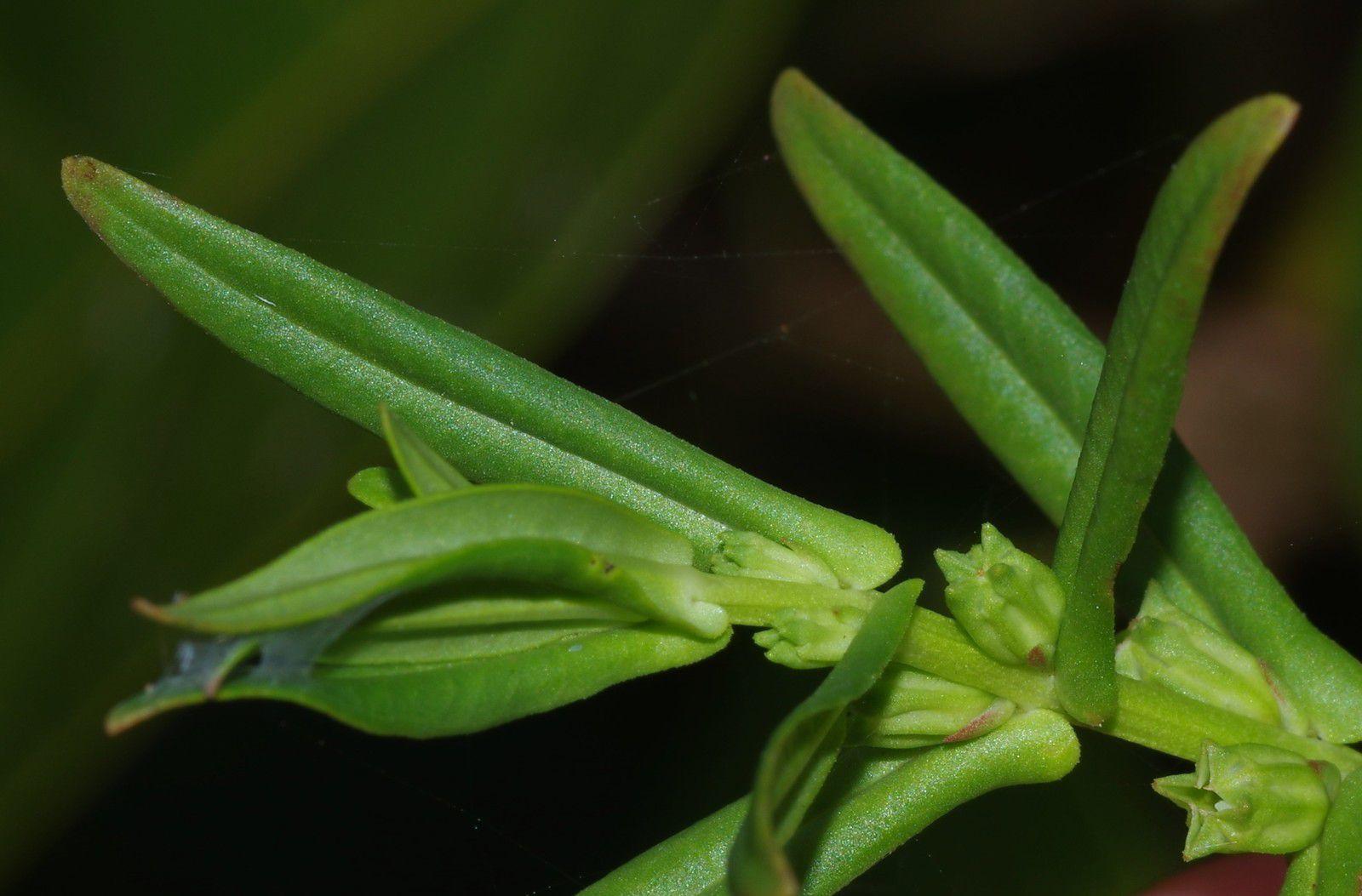 Ammania latifolia