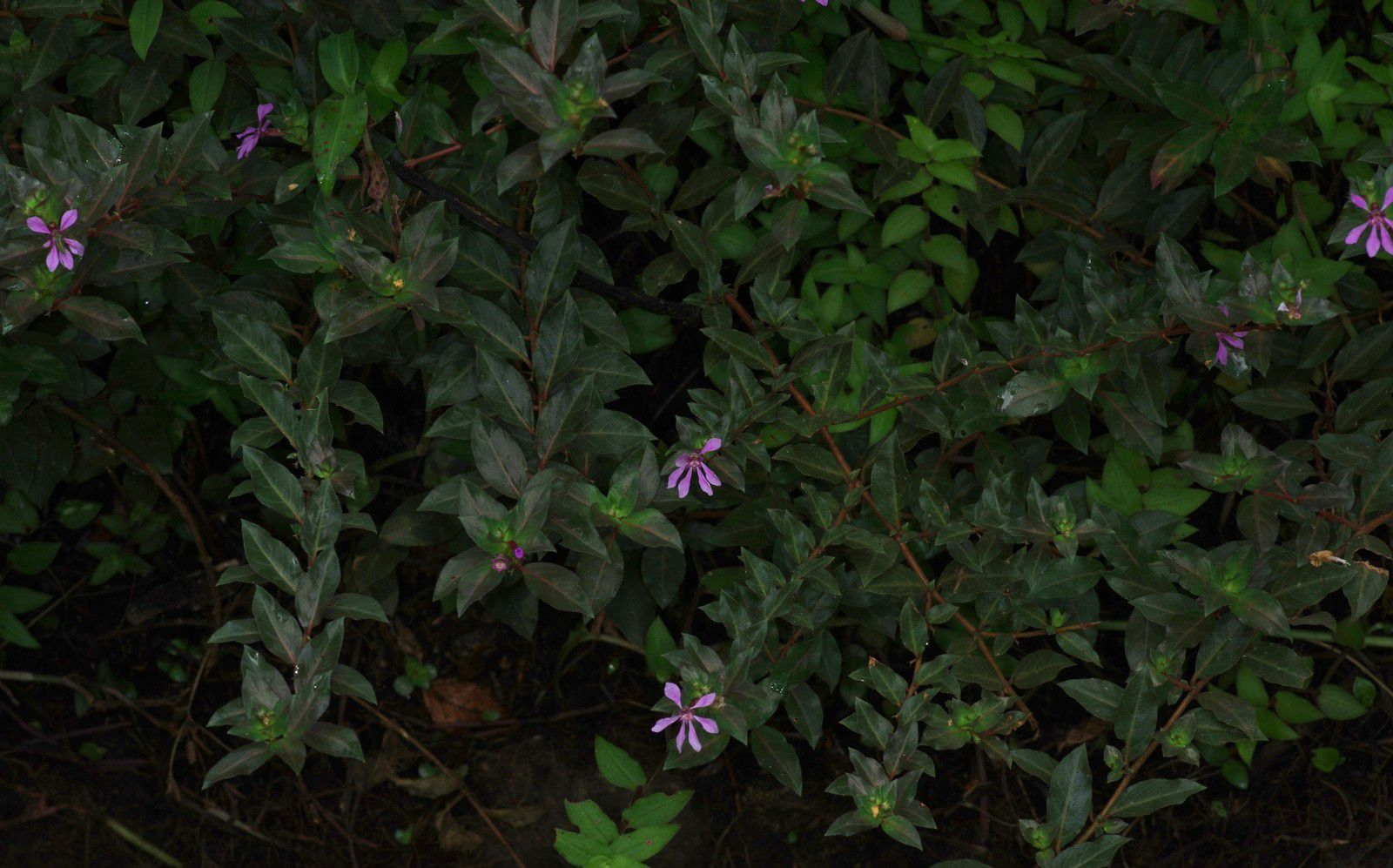 Cuphea carthagenensis (radié raide)