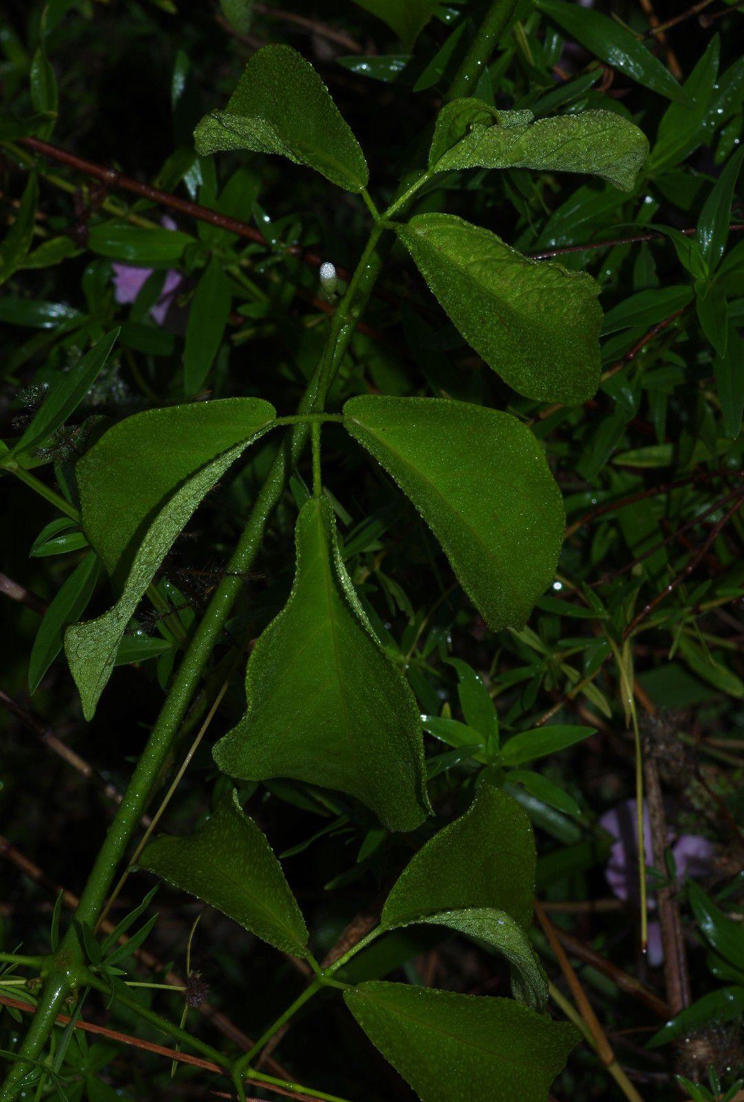 Amphilophium pulverulentum