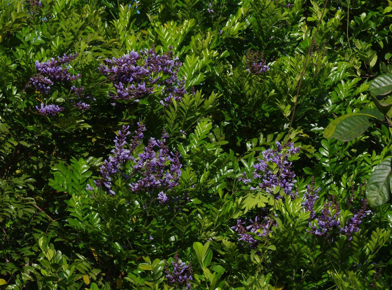 Jacaranda copaia subsp. copaia (copaya)