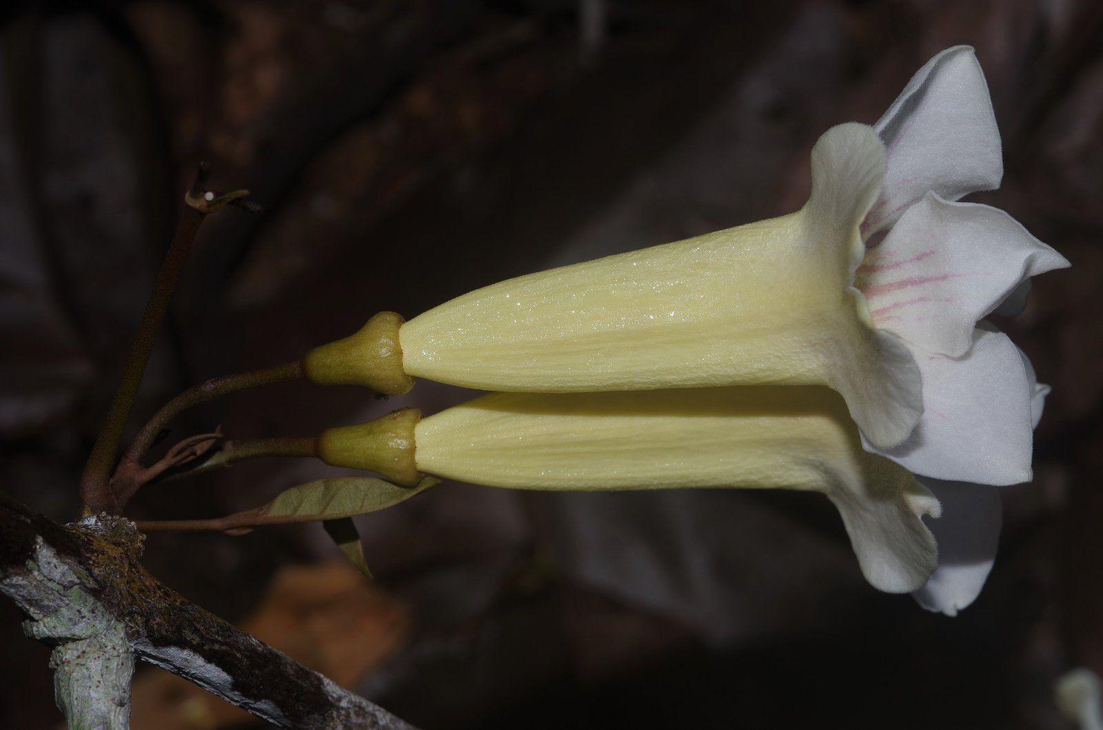 Bignonia aequinoctialis (liane panier)