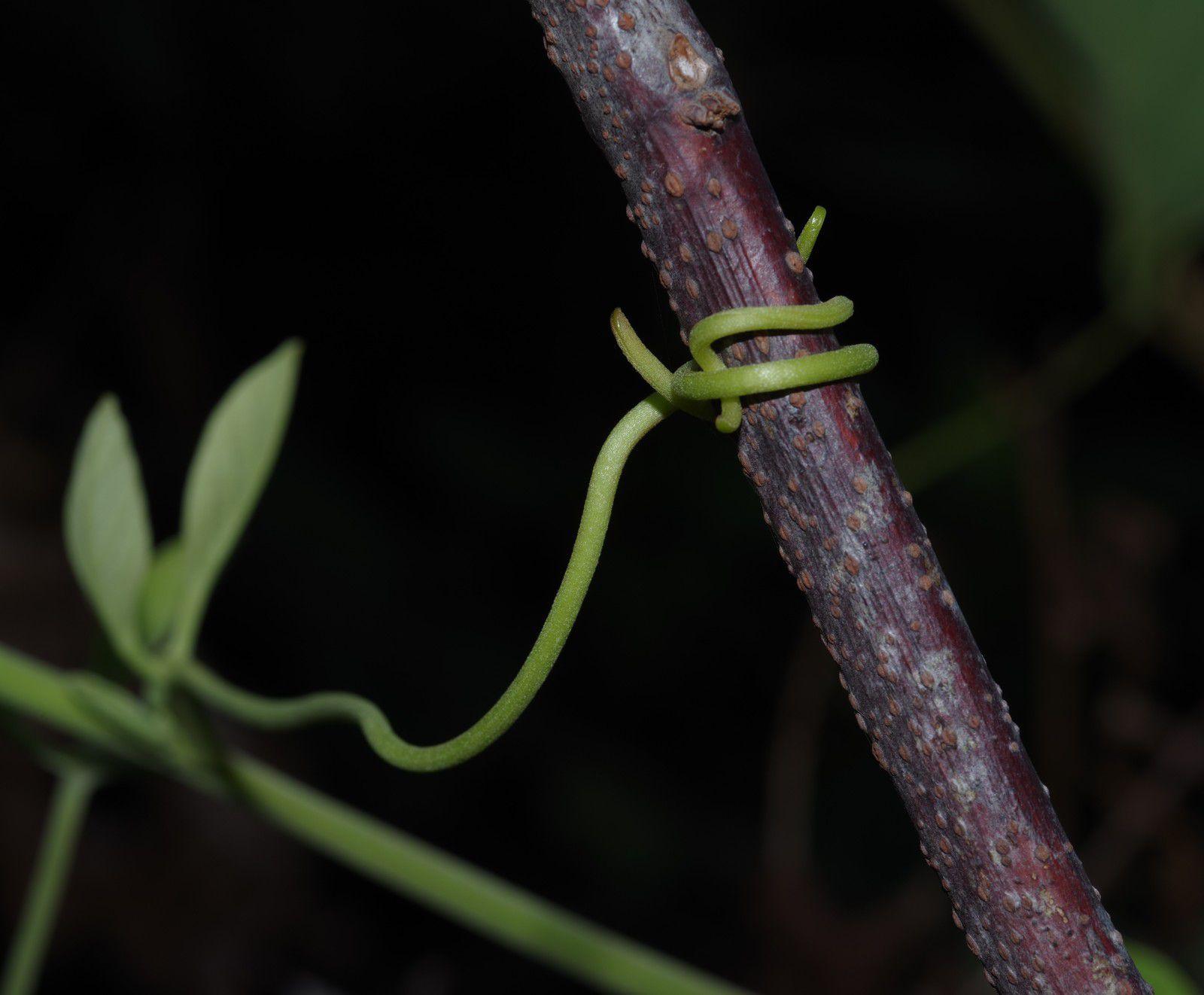 Amphilophium elongatum