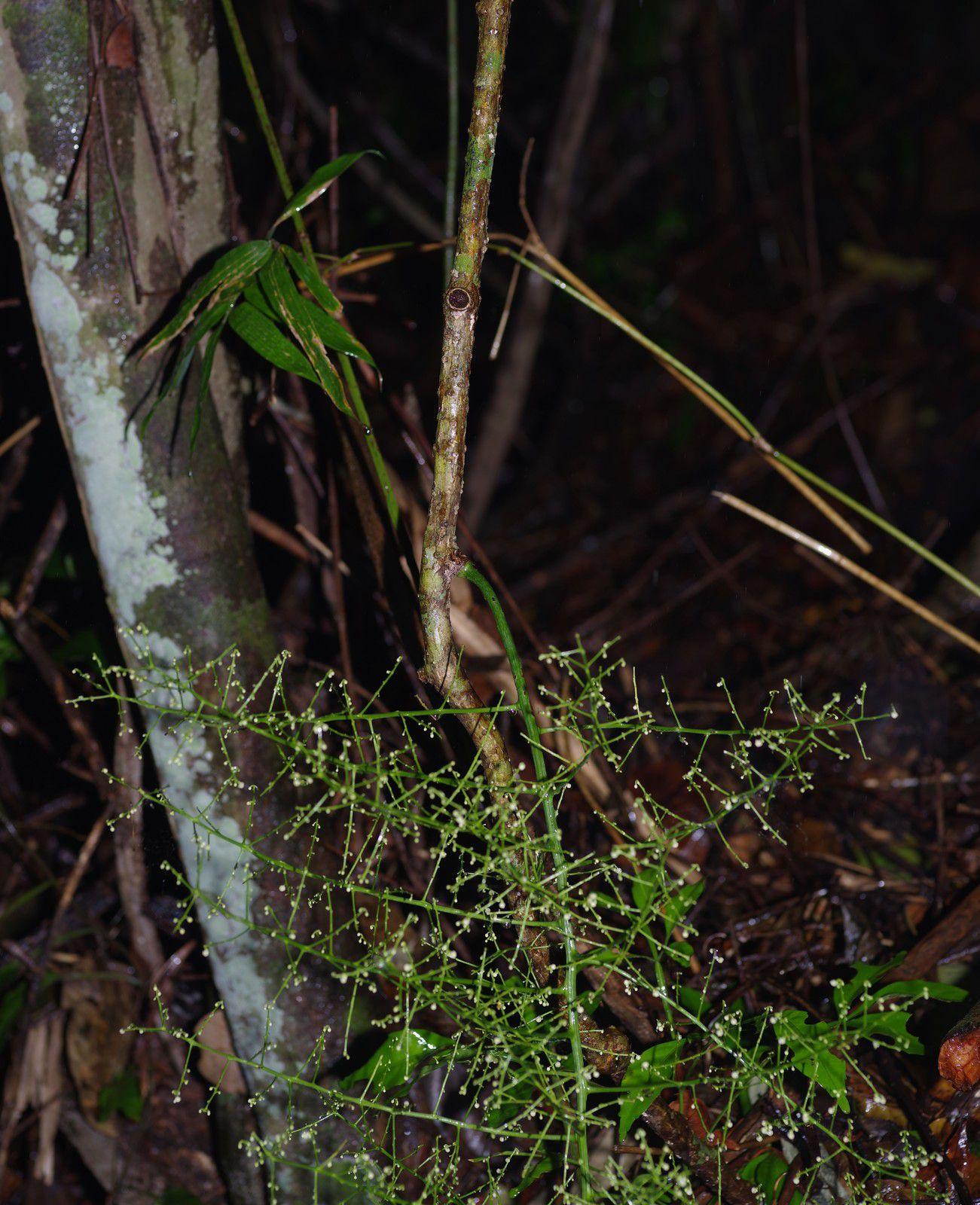 Odontocarya wullschlaegelii