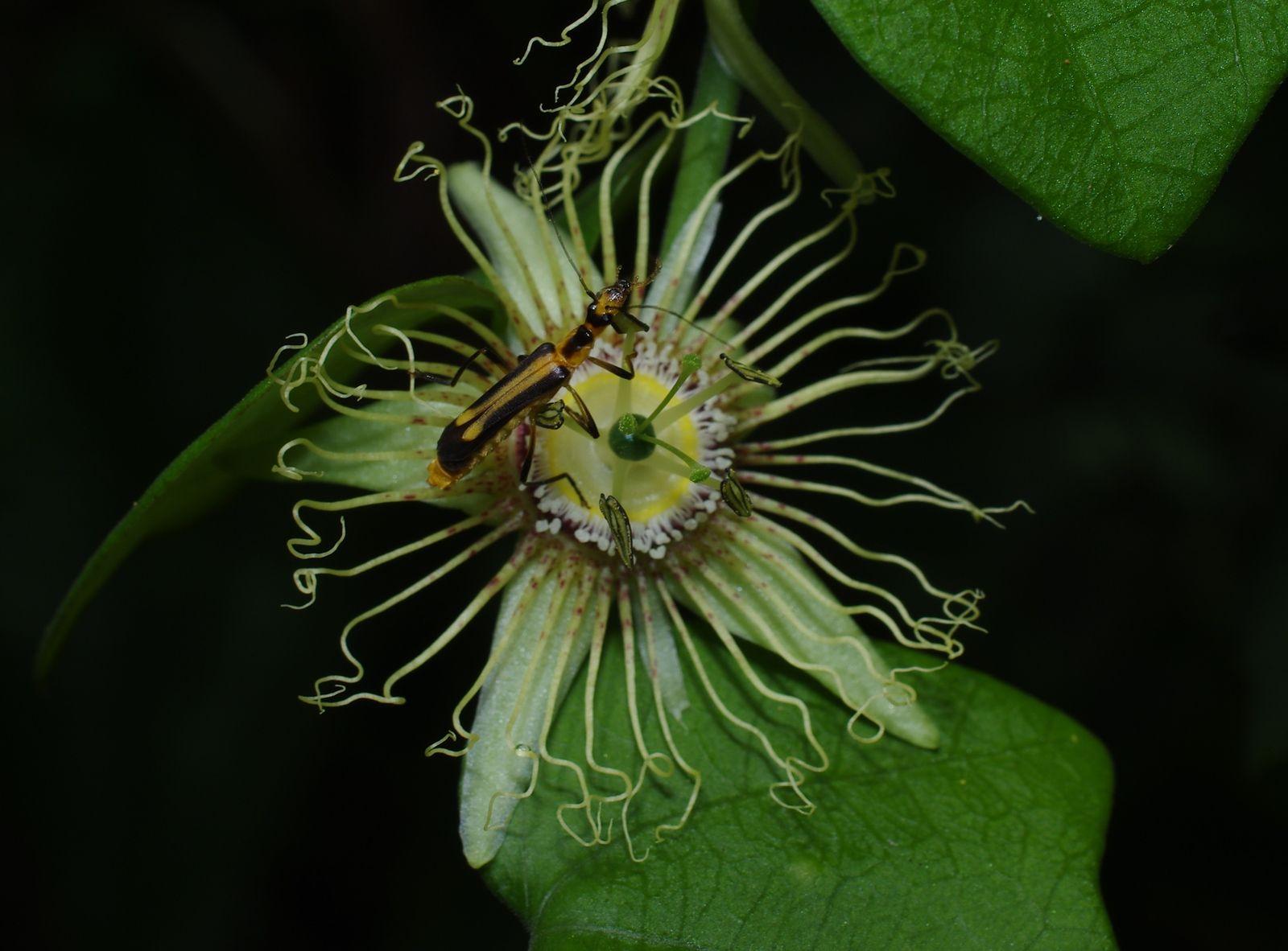 Passiflora fanchoniae
