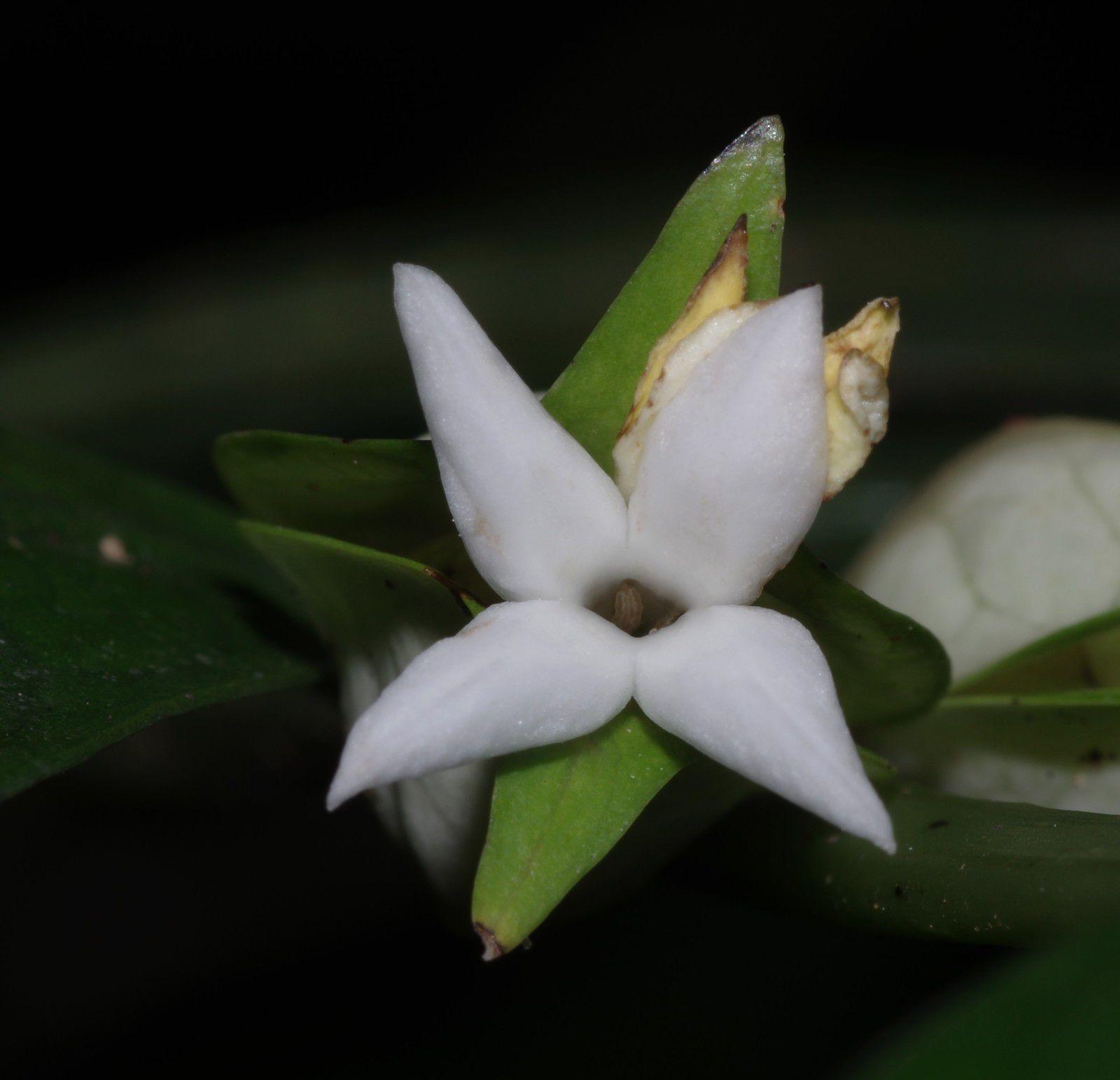 Faramea guianensis (petit ipéca)