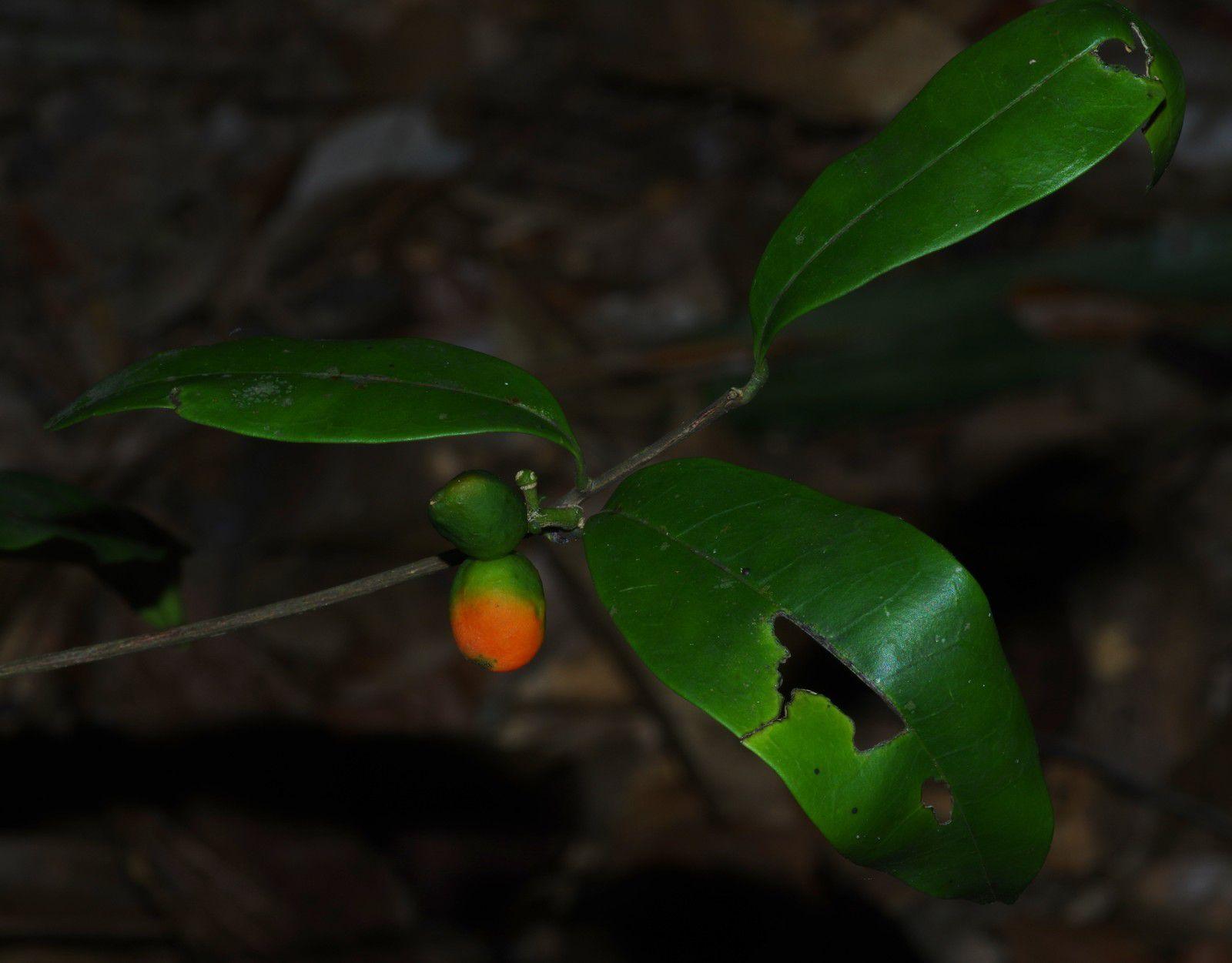 Simaba guianensis subsp. guianensis