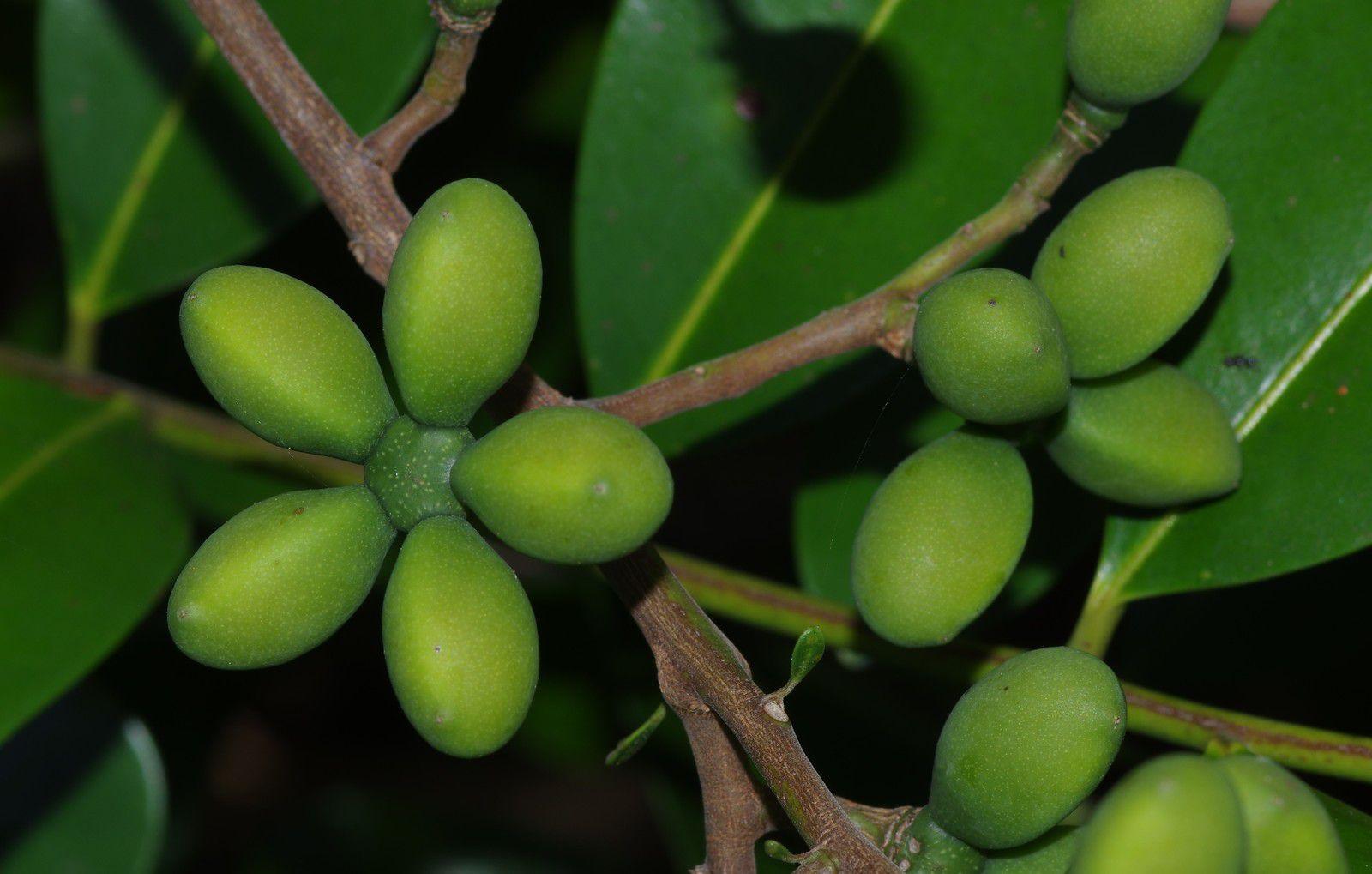 Simarouba amara (simarouba)