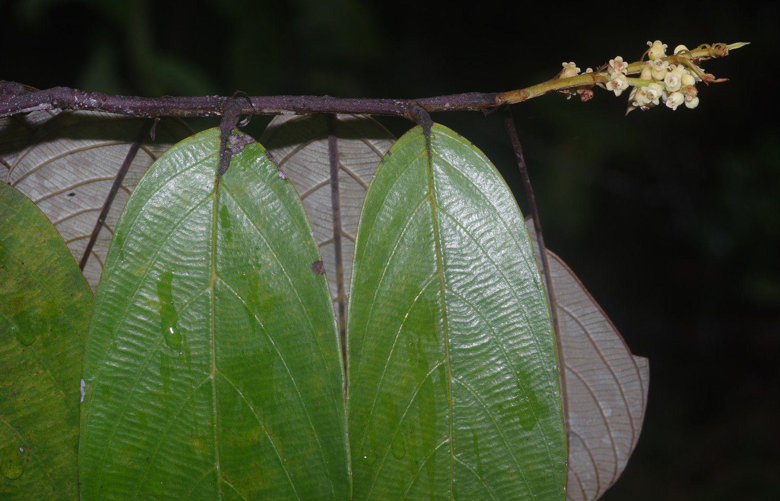 Licania alba (gaulette blanche grande feuille)