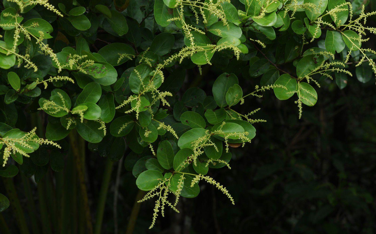 Hymenopus heterocarpus var. heterocarpus (gaulette)
