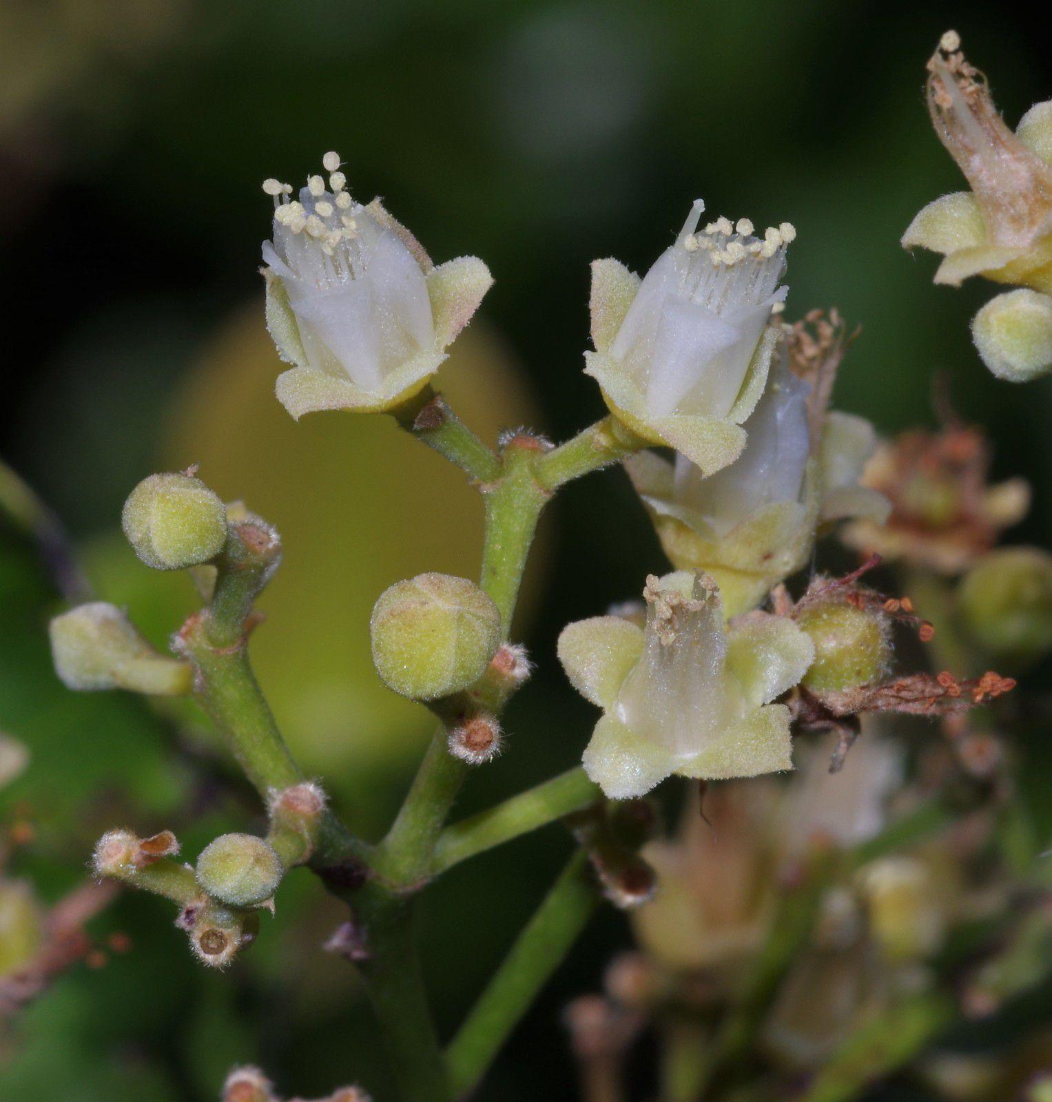 Chrysobalanus icaco (prune d'anse, prune zicaque)