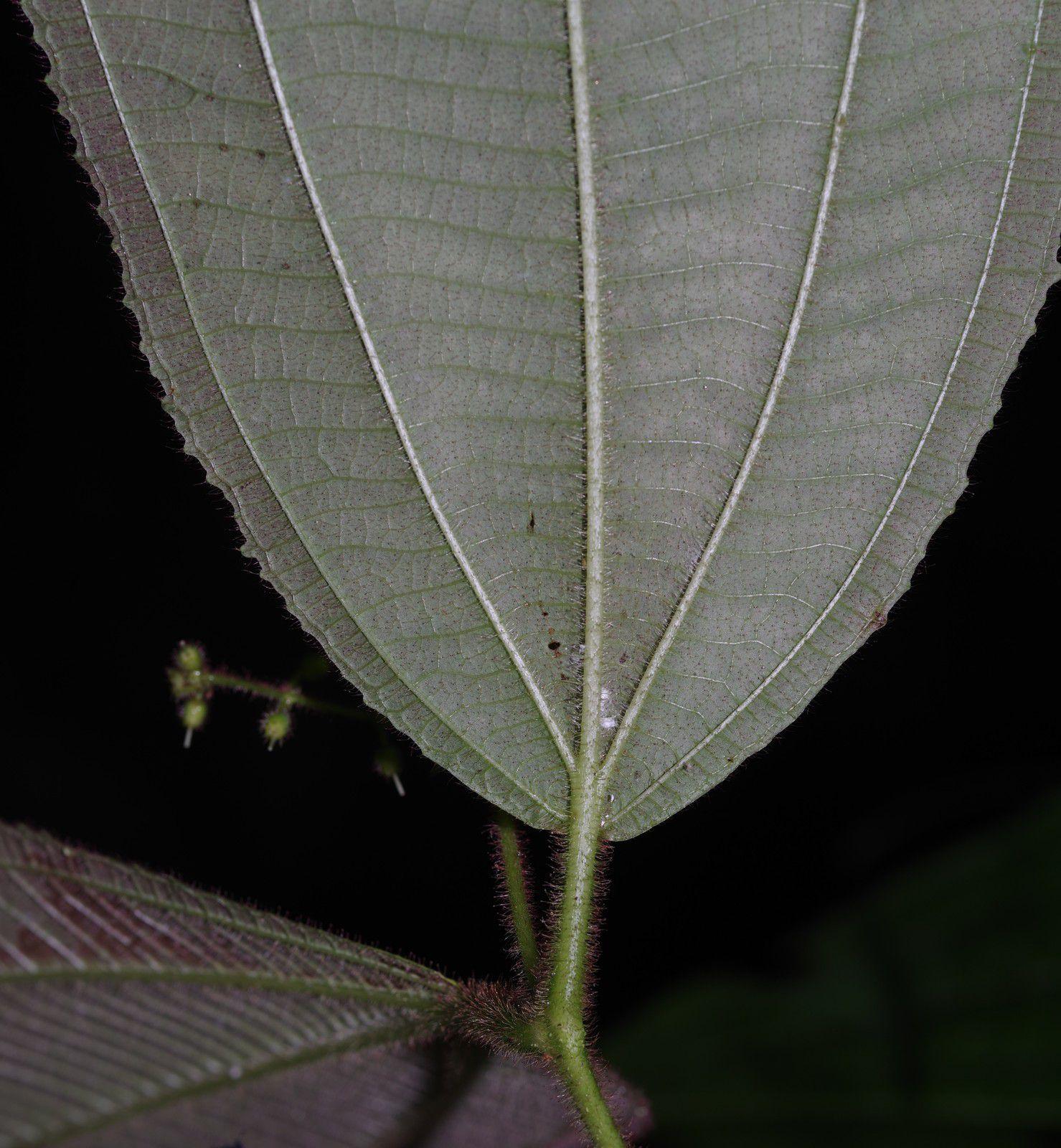 Miconia sp