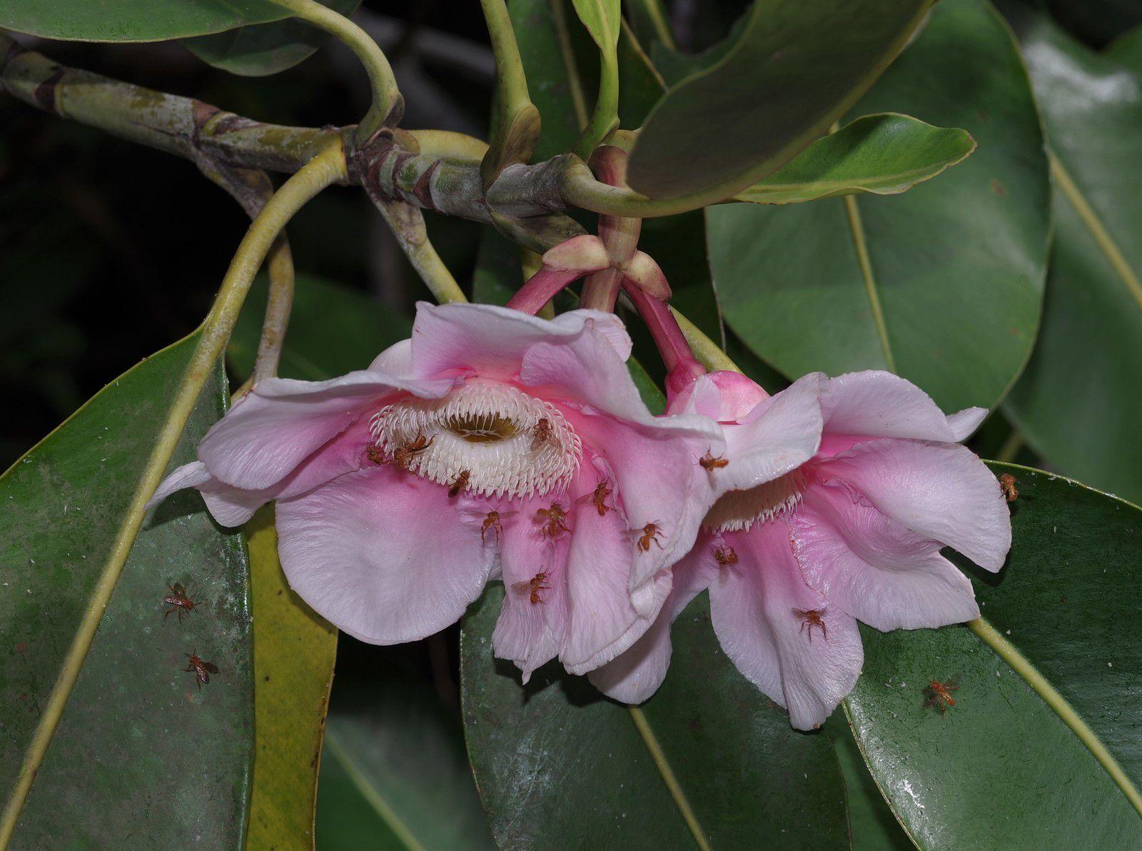 Clusia grandiflora