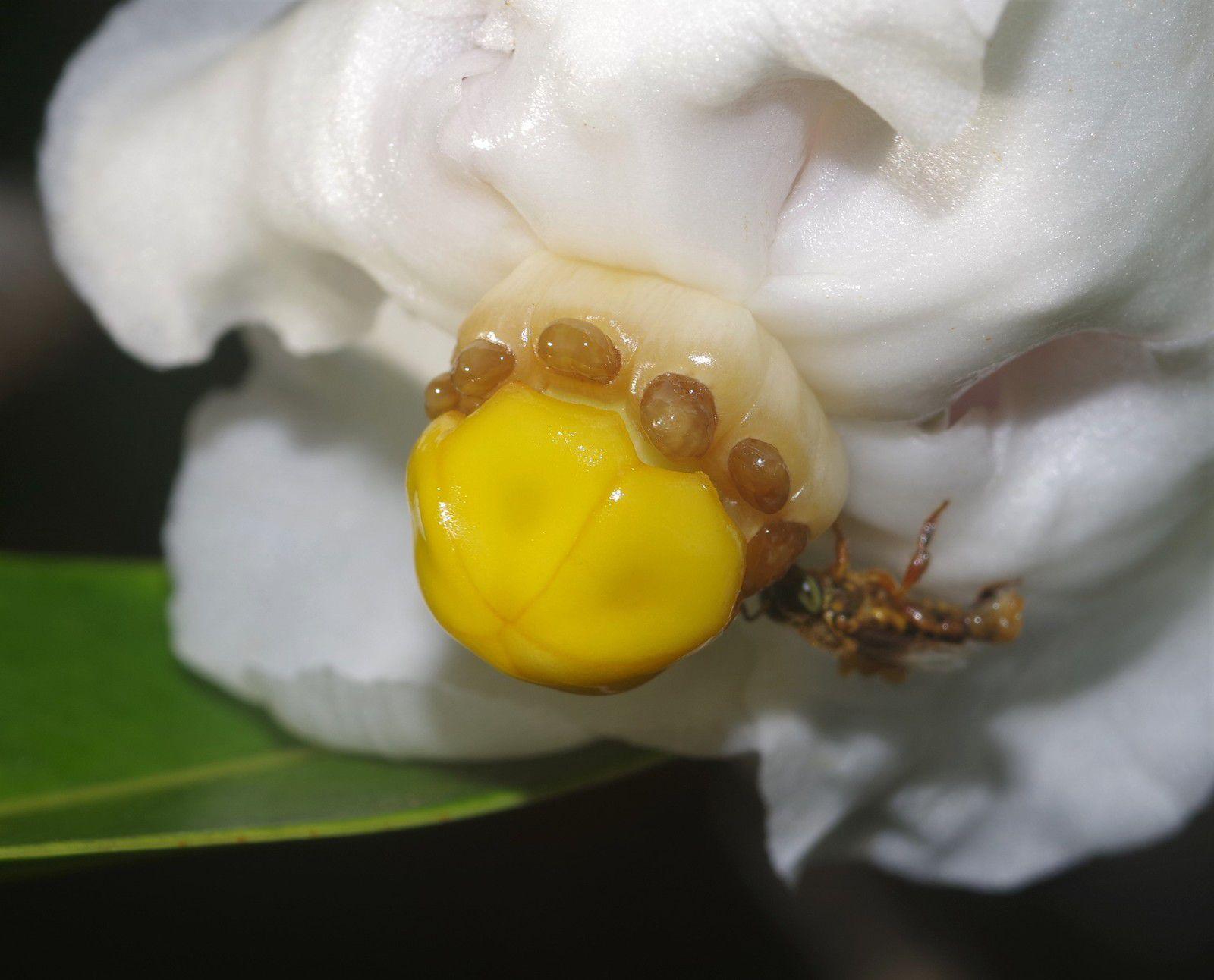 Clusia scrobiculata