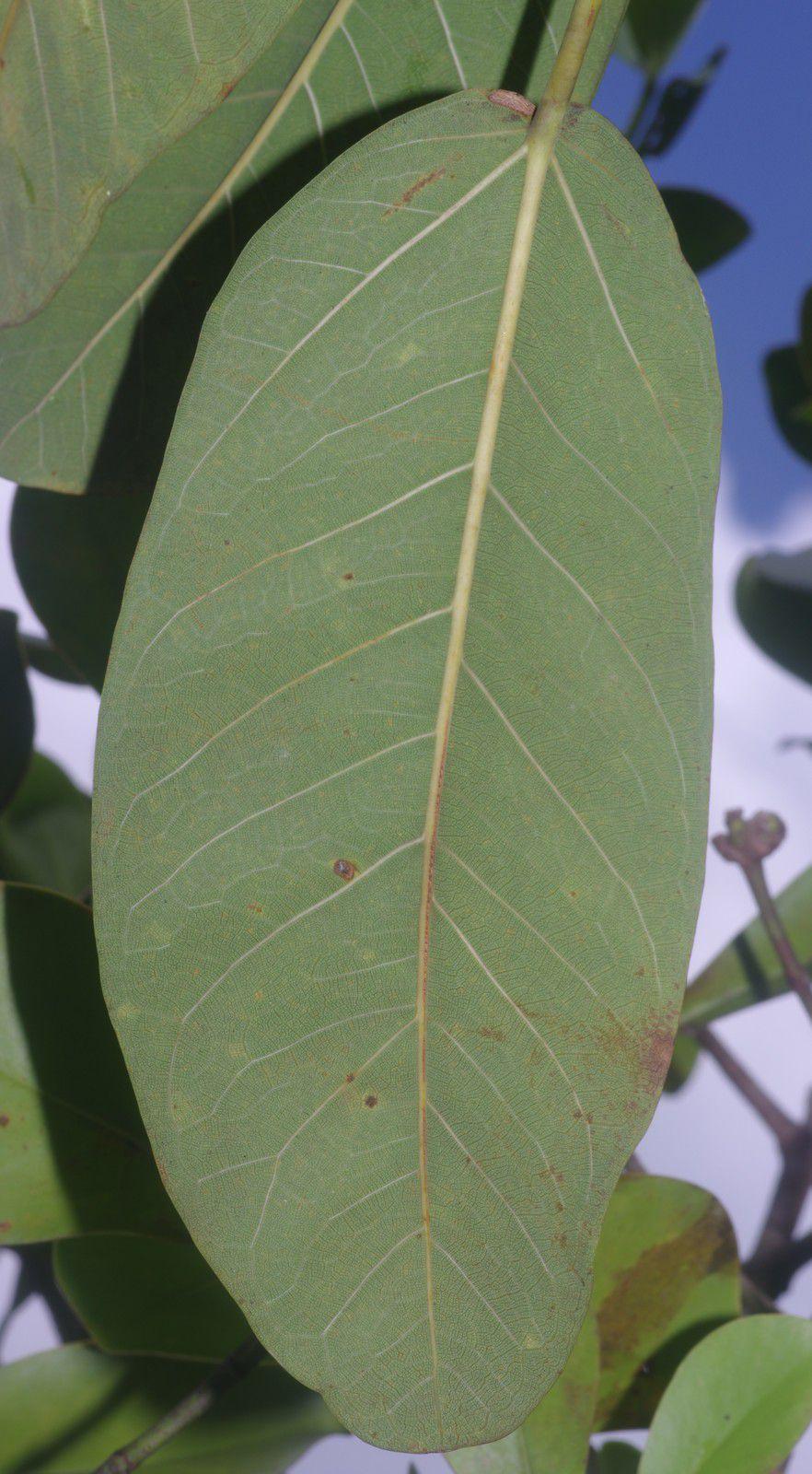 Ficus pakkensis