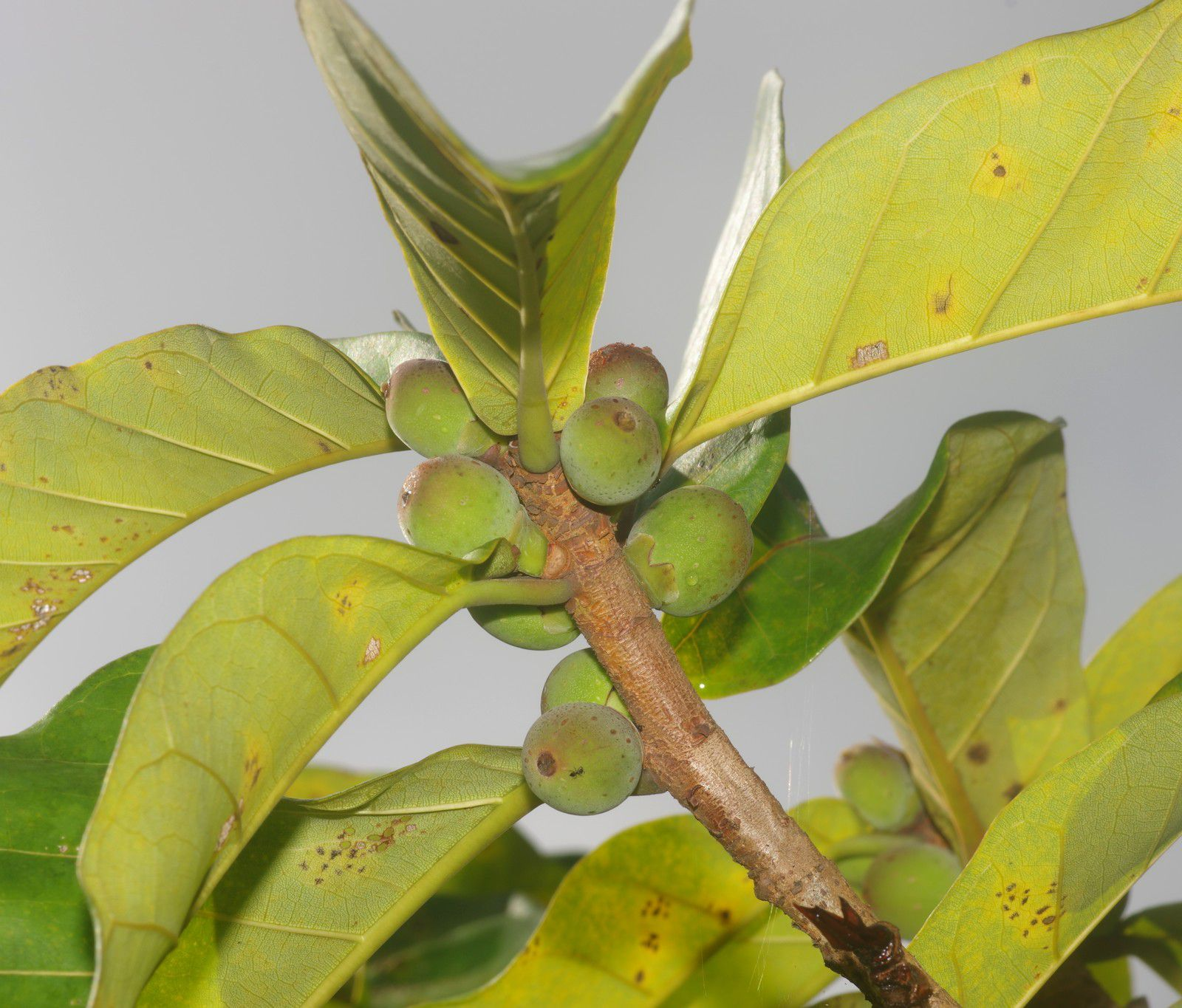 Ficus catappifolia