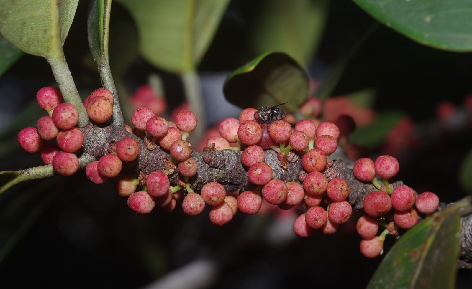 Ficus guianensis