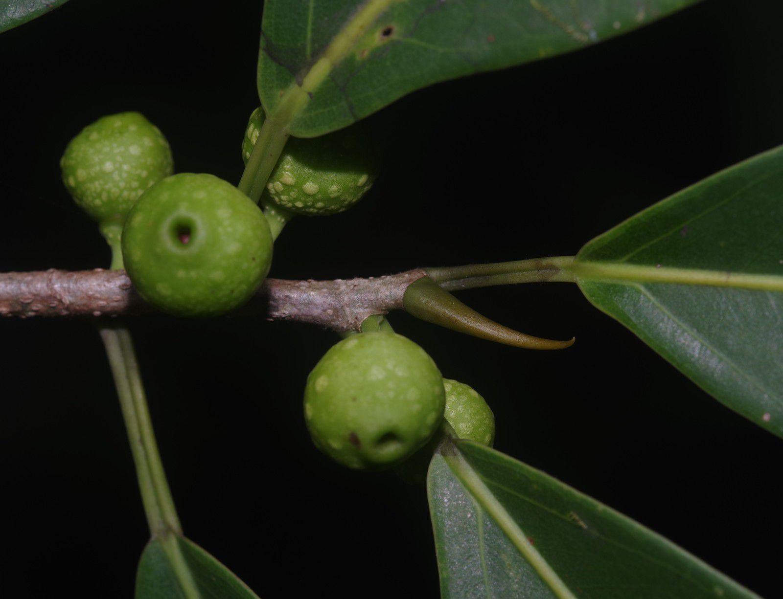 Ficus pertusa
