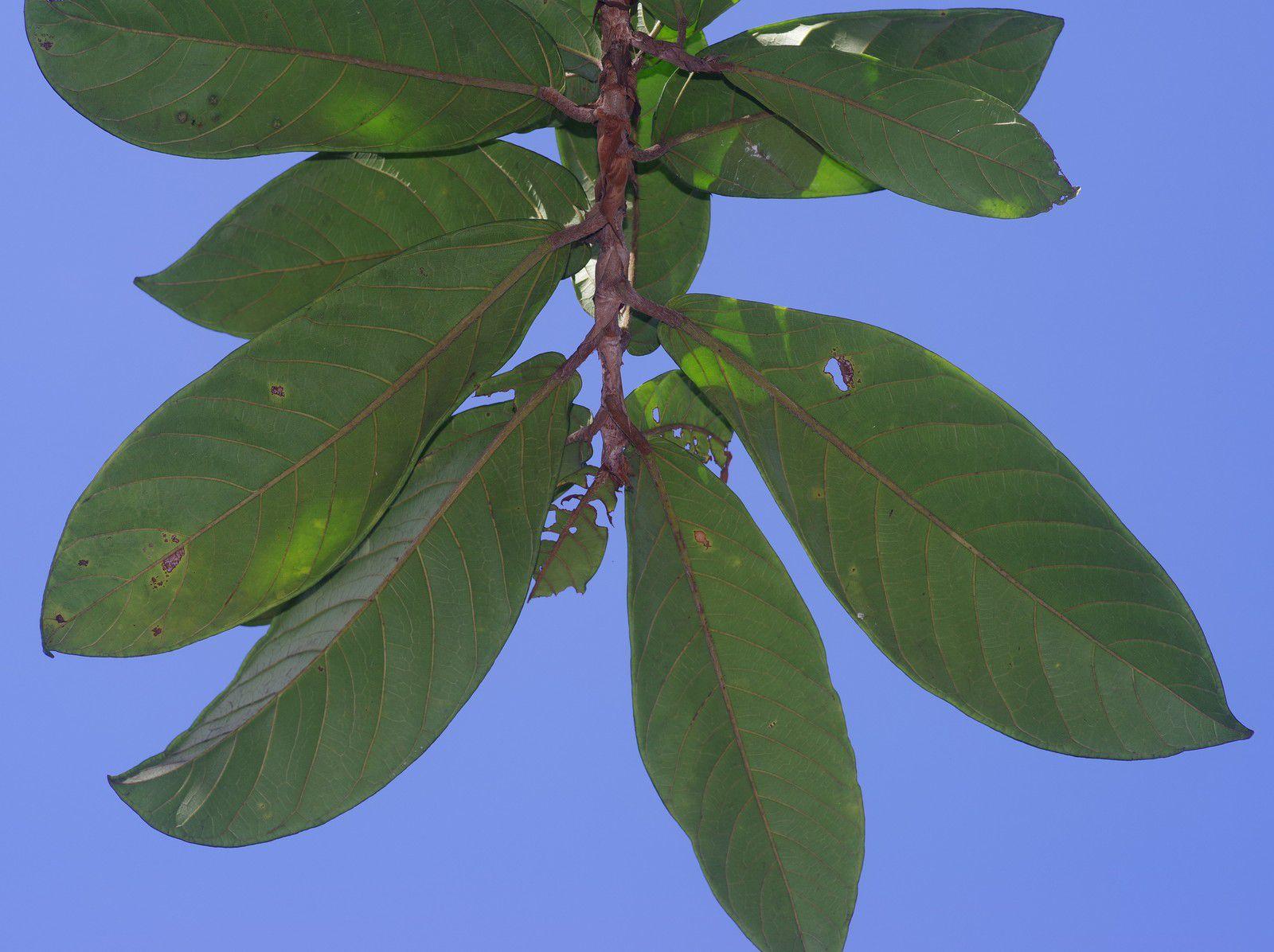 Ficus panurensis