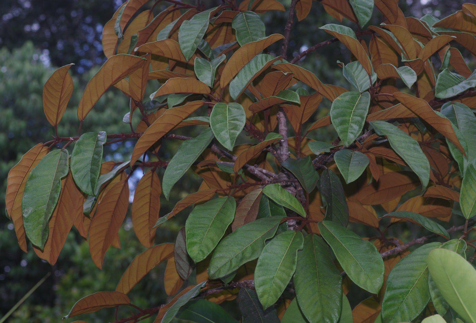 Ficus albert-smithii