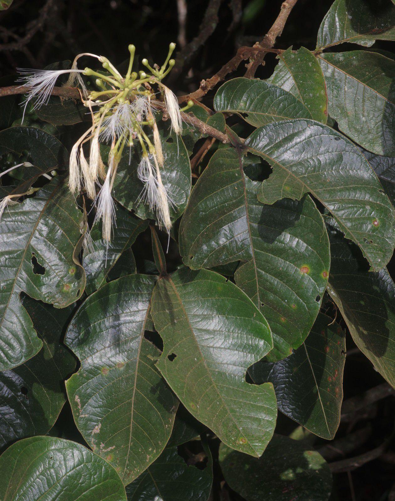 Inga lomatophylla