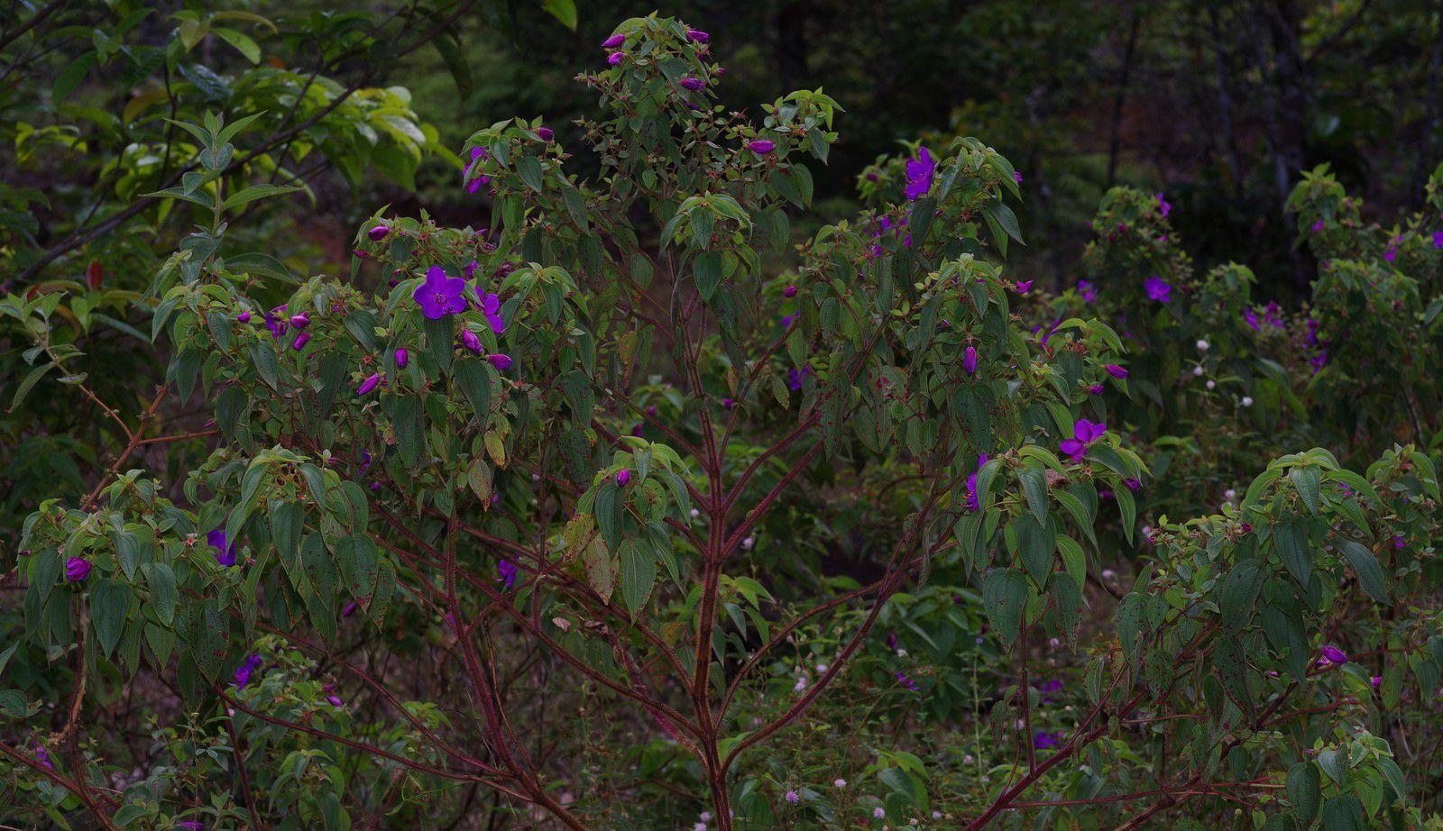 Rhynchanthera grandiflora (coquelicot)