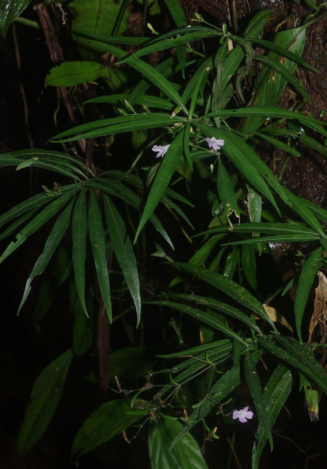 Ruellia longifolia