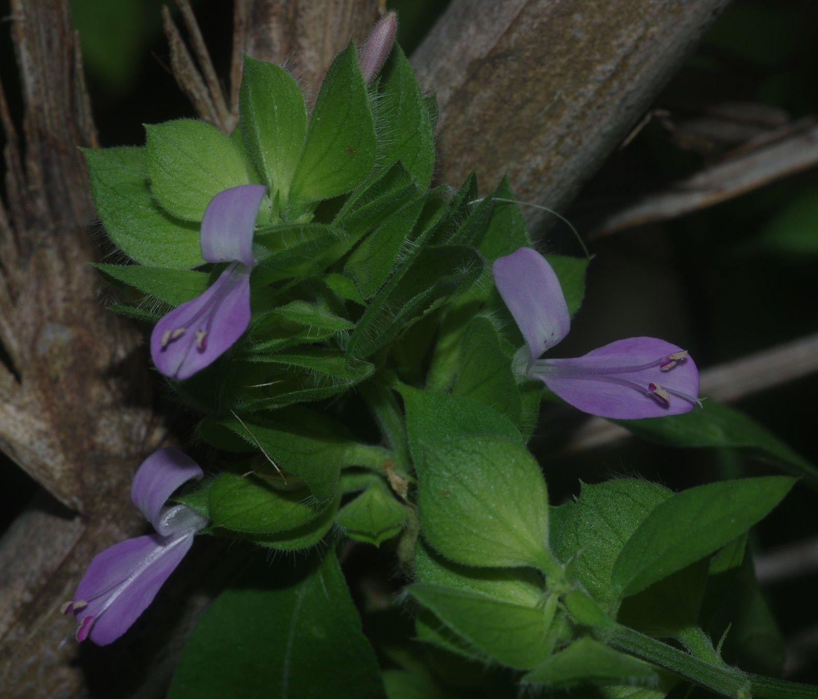 Dicliptera ciliaris